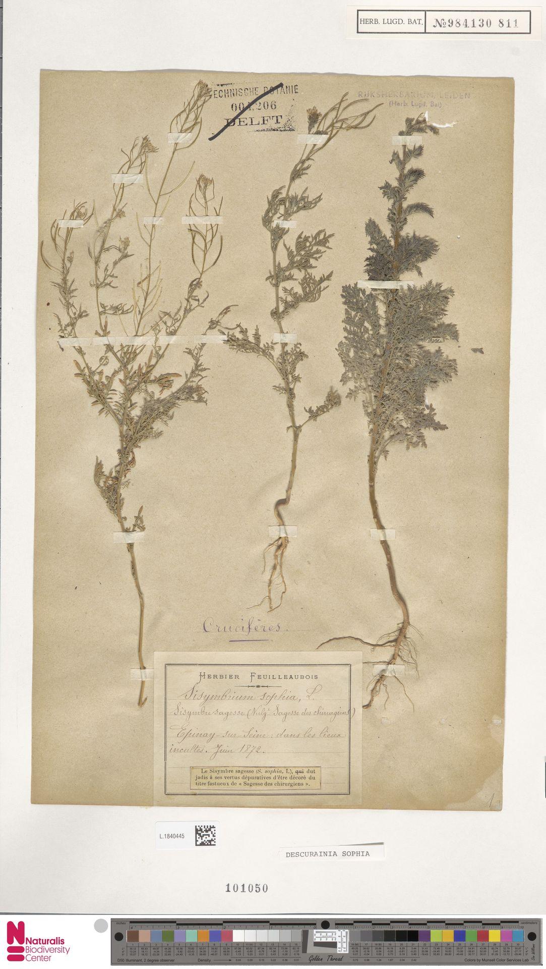 L.1840445 | Descurainia sophia (L.) Webb ex Prantl