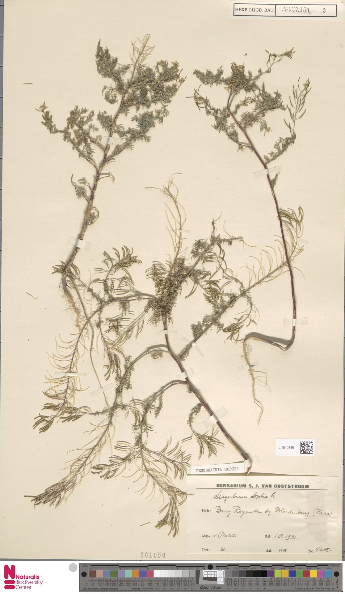 L.1840446   Descurainia sophia (L.) Webb ex Prantl