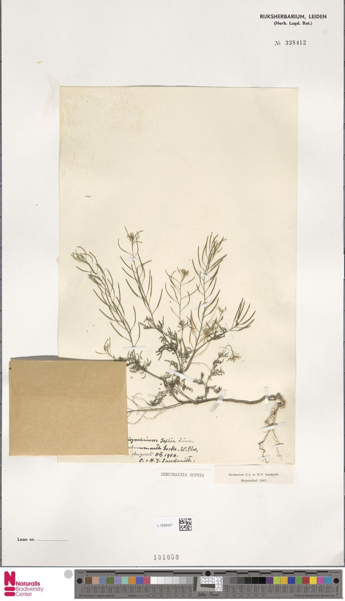 L.1840447 | Descurainia sophia (L.) Webb ex Prantl