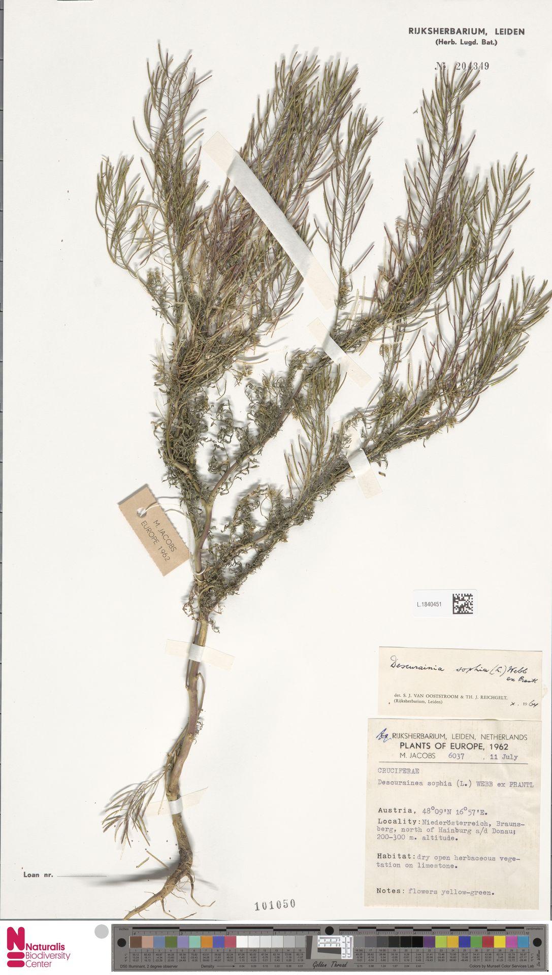 L.1840451 | Descurainia sophia (L.) Webb ex Prantl