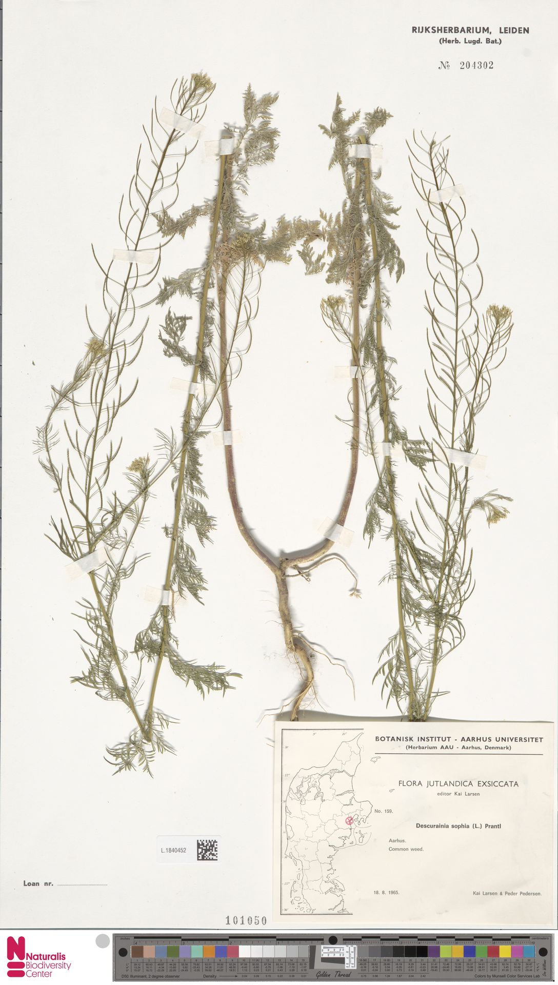 L.1840452 | Descurainia sophia (L.) Webb ex Prantl