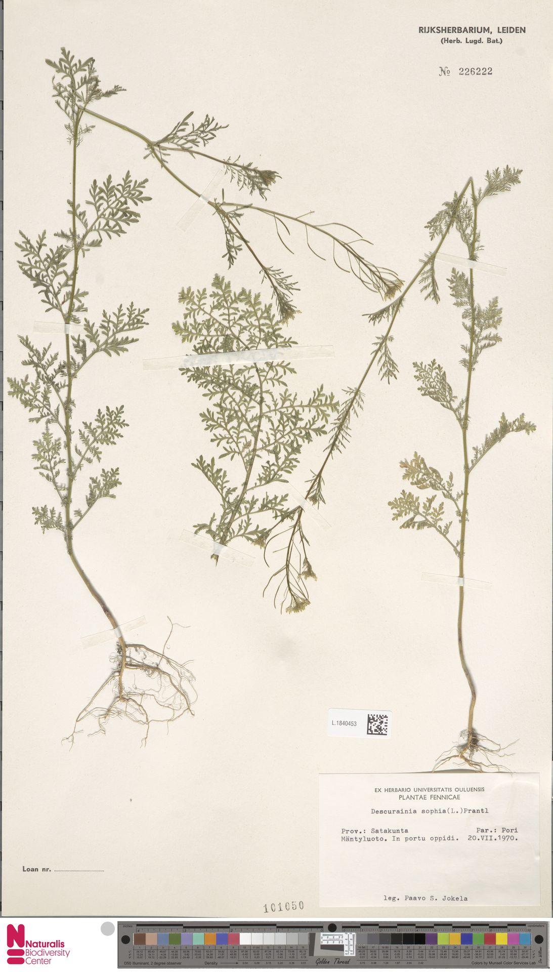 L.1840453   Descurainia sophia (L.) Webb ex Prantl