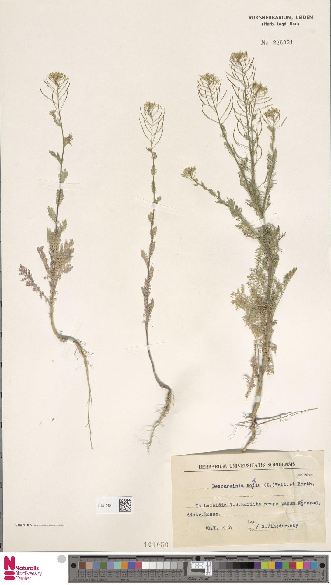 L.1840454 | Descurainia sophia (L.) Webb ex Prantl