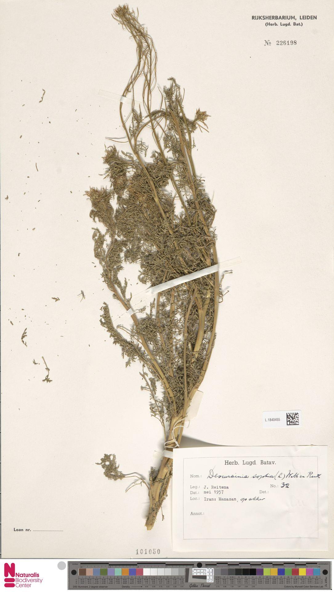 L.1840455 | Descurainia sophia (L.) Webb ex Prantl