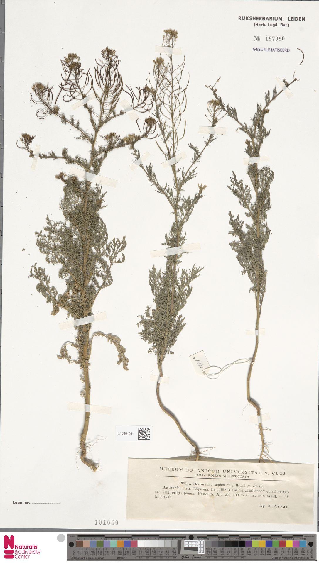 L.1840456 | Descurainia sophia (L.) Webb ex Prantl