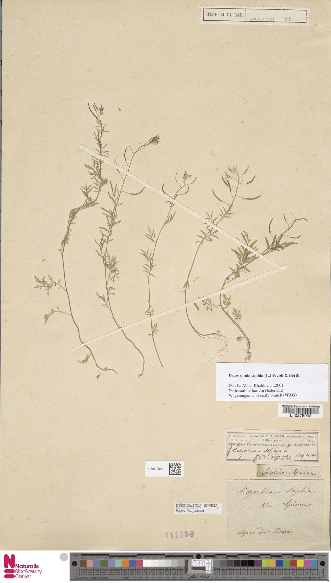 L.1840460 | Descurainia sophia (L.) Webb ex Prantl