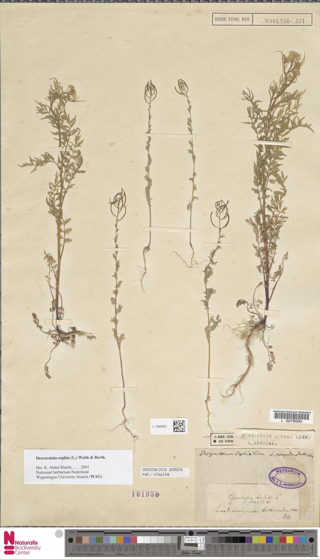 L.1840461 | Descurainia sophia (L.) Webb ex Prantl