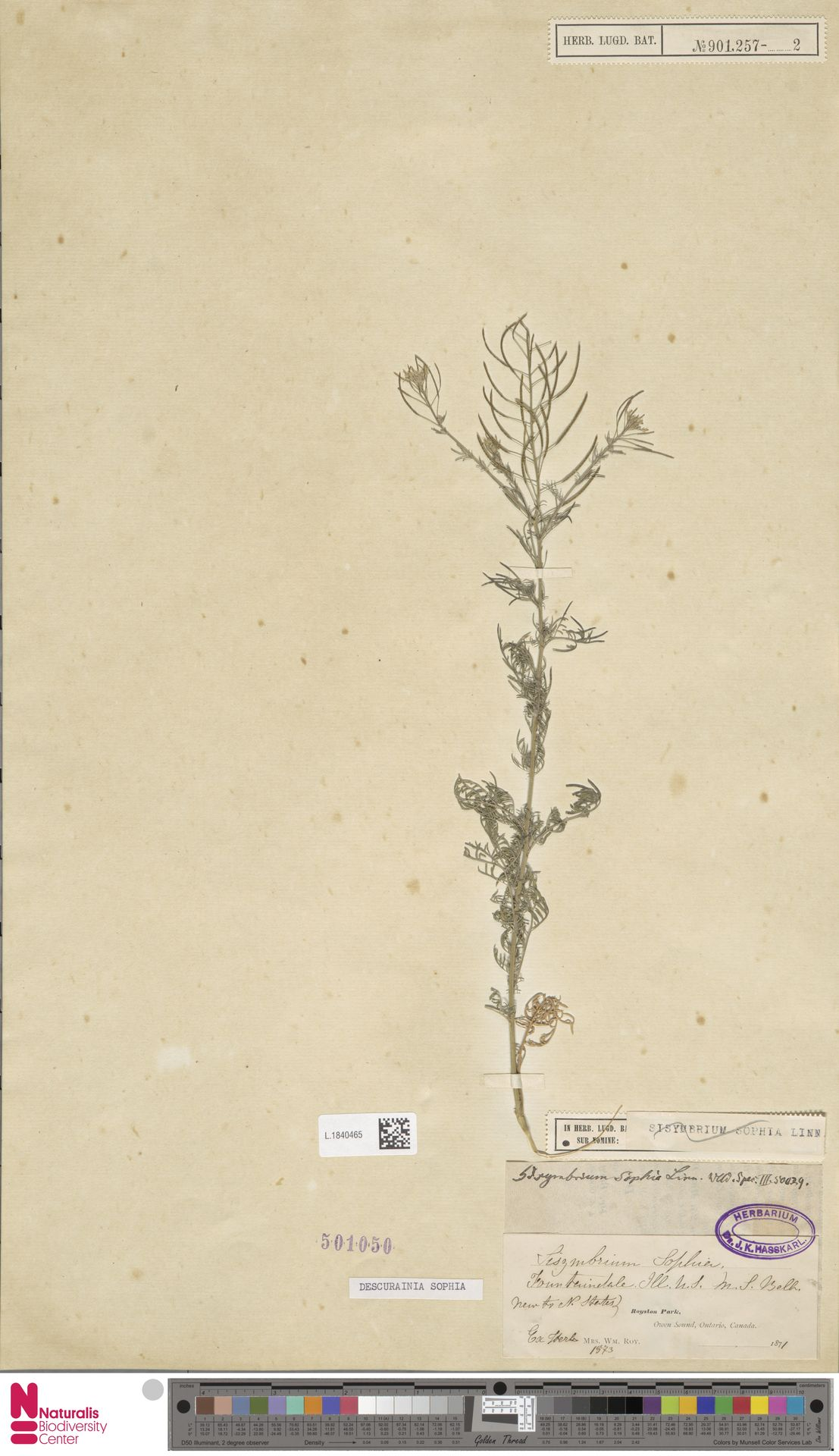L.1840465 | Descurainia sophia (L.) Webb ex Prantl