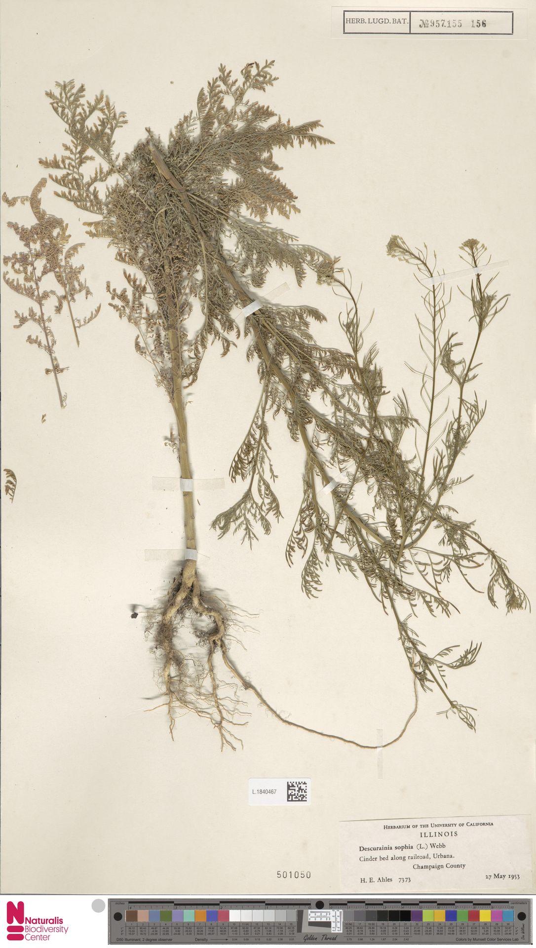 L.1840467 | Descurainia sophia (L.) Webb ex Prantl