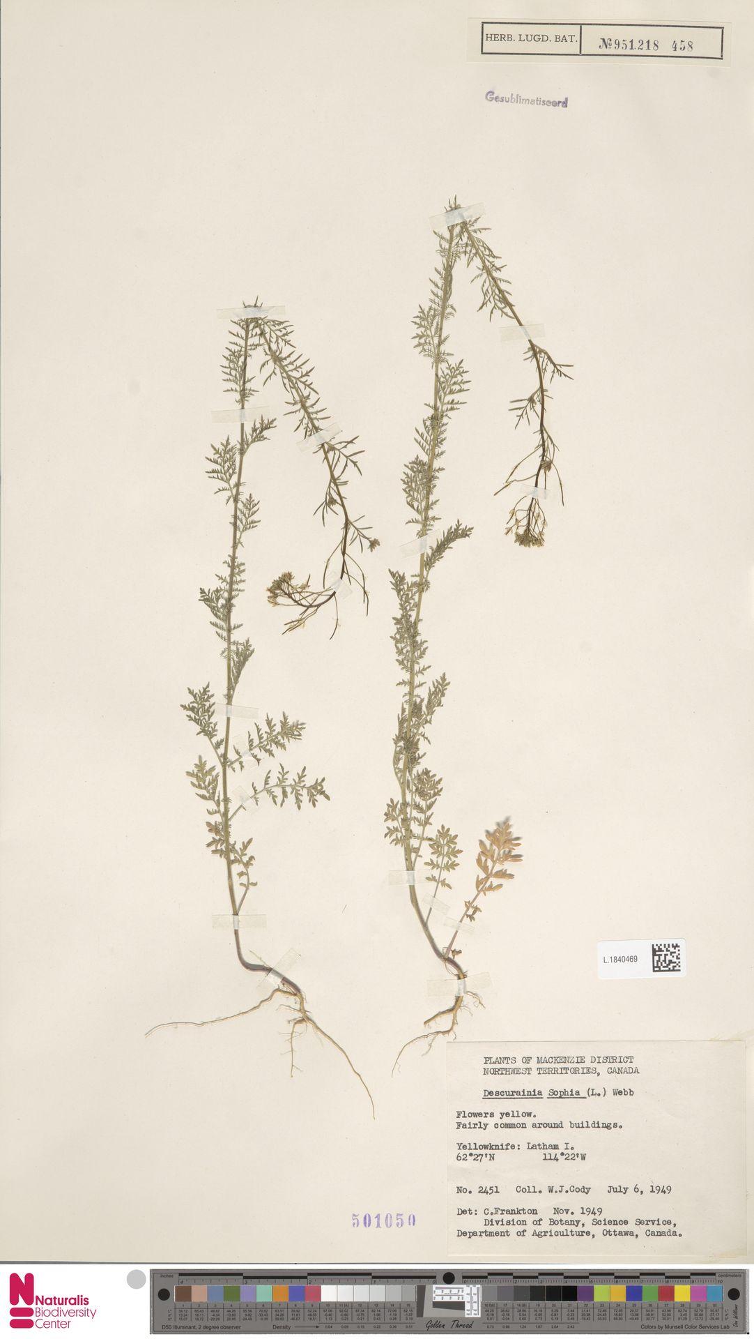 L.1840469 | Descurainia sophia (L.) Webb ex Prantl