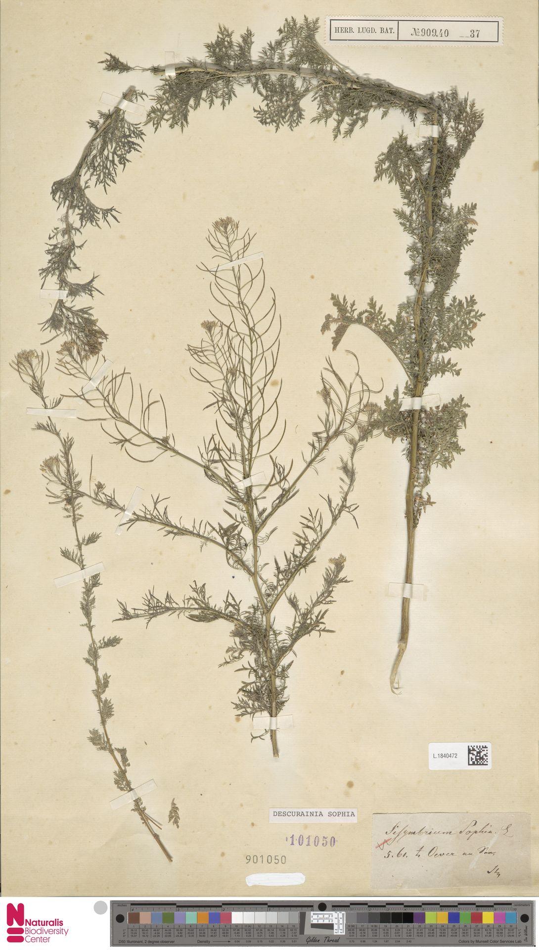 L.1840472 | Descurainia sophia (L.) Webb ex Prantl