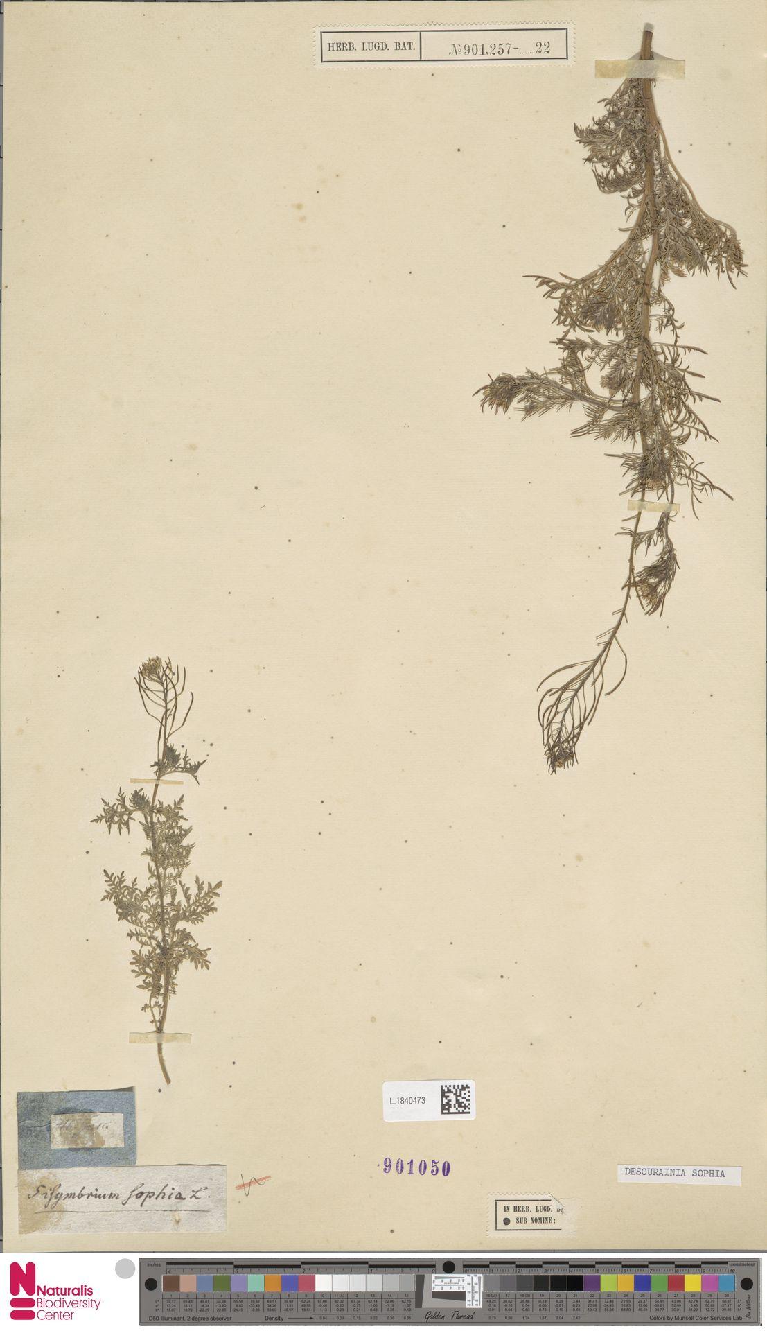 L.1840473 | Descurainia sophia (L.) Webb ex Prantl