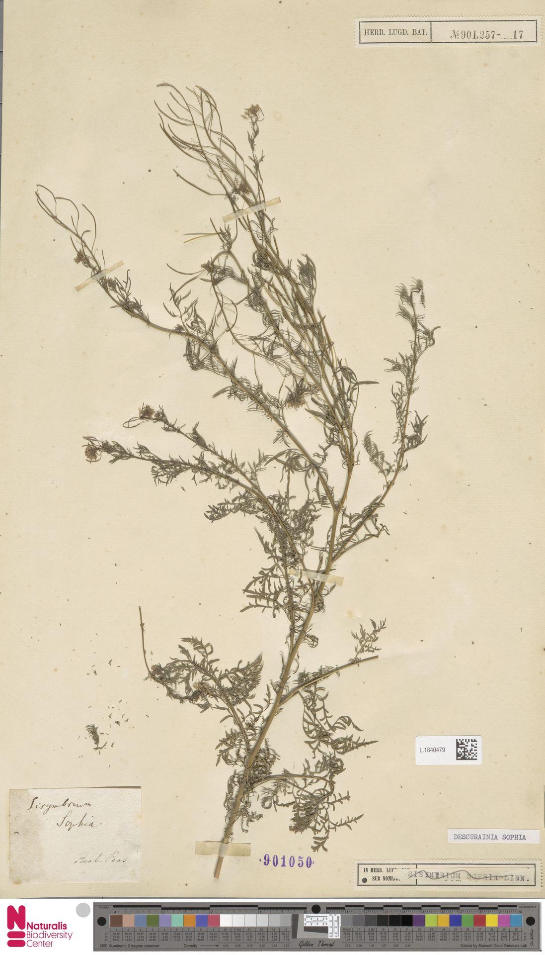 L.1840479 | Descurainia sophia (L.) Webb ex Prantl