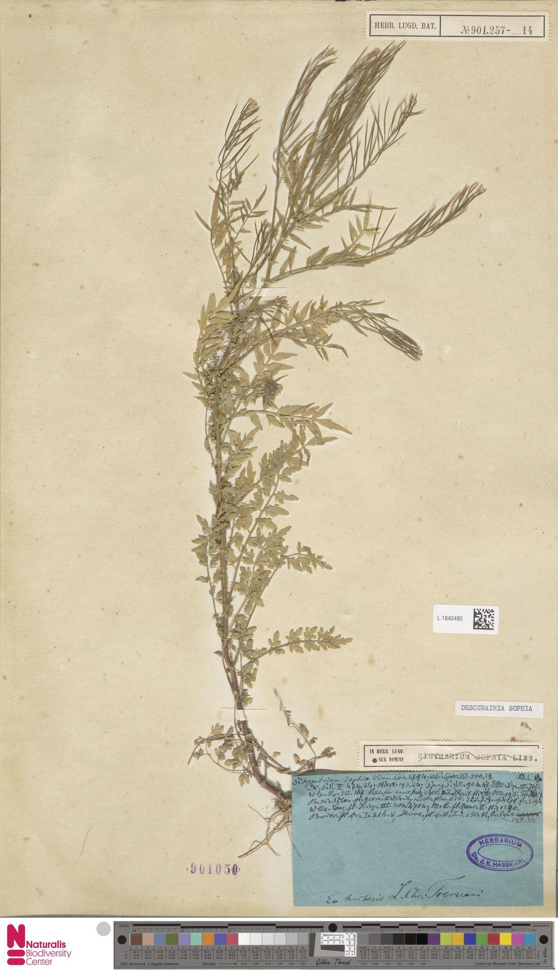L.1840480 | Descurainia sophia (L.) Webb ex Prantl