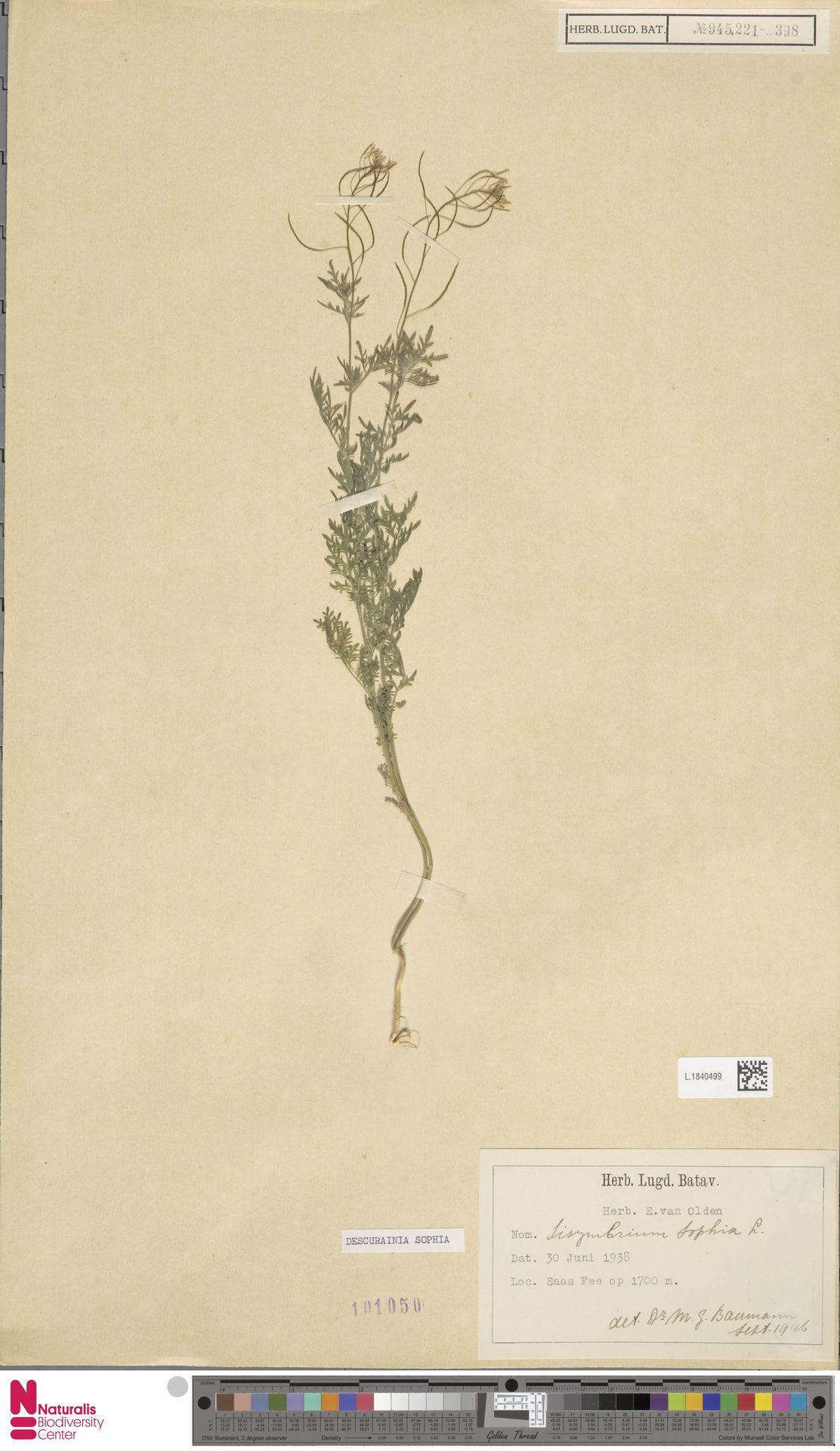 L.1840499 | Descurainia sophia (L.) Webb ex Prantl