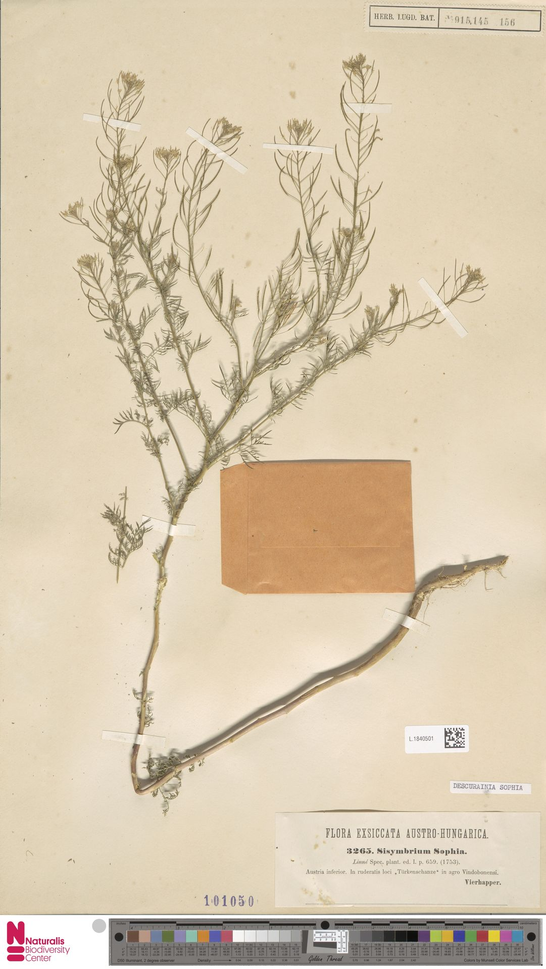 L.1840501 | Descurainia sophia (L.) Webb ex Prantl