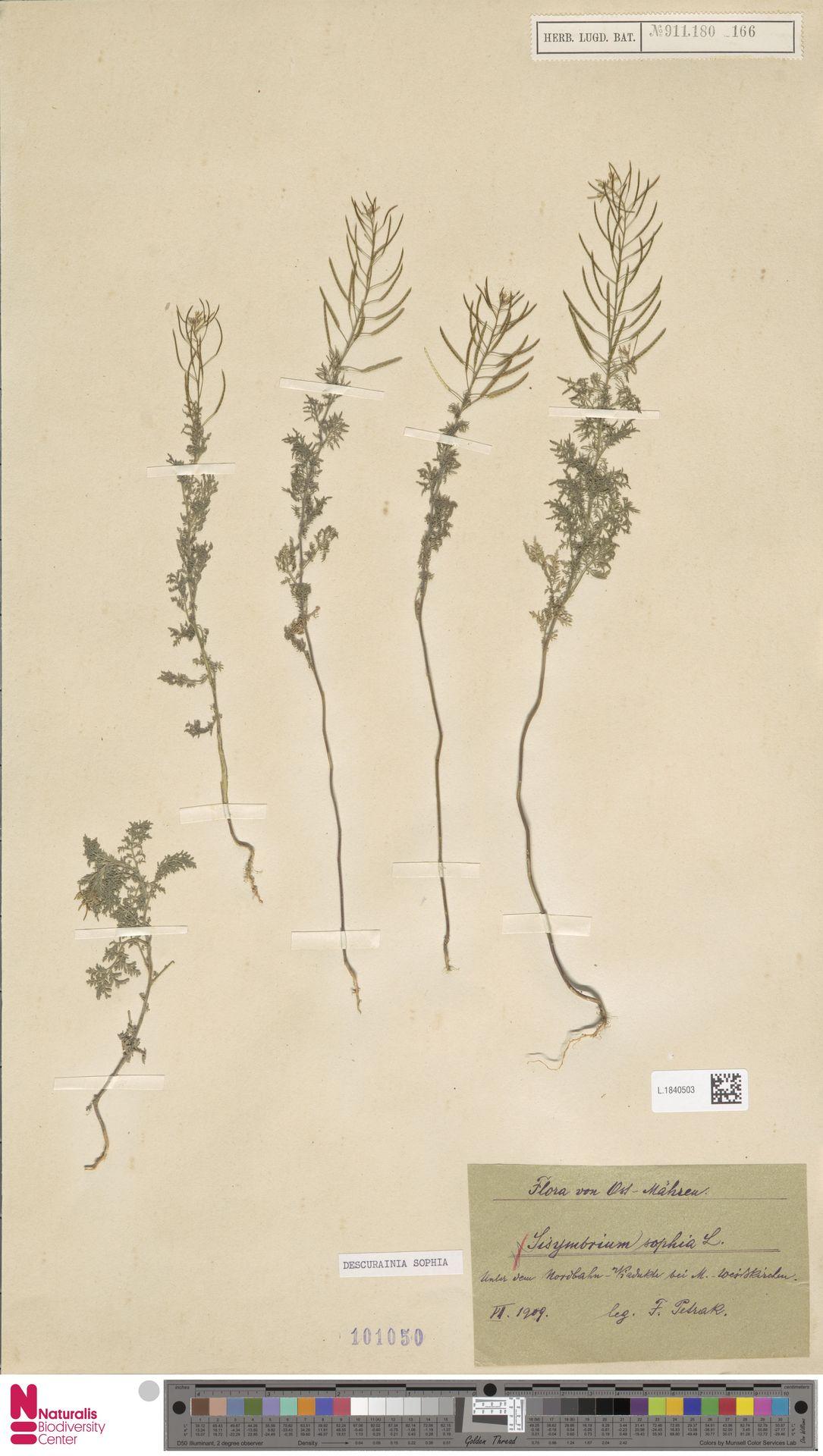 L.1840503 | Descurainia sophia (L.) Webb ex Prantl