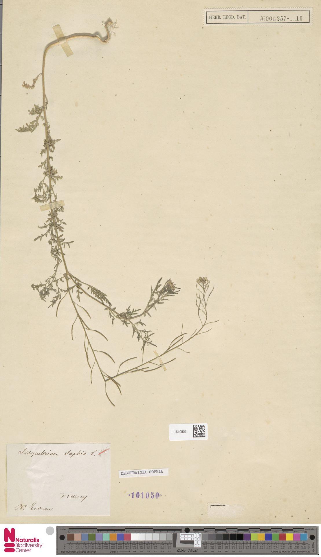L.1840506   Descurainia sophia (L.) Webb ex Prantl