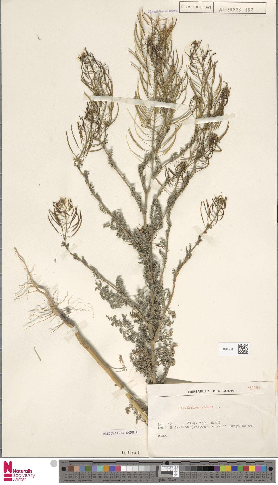 L.1840508 | Descurainia sophia (L.) Webb ex Prantl