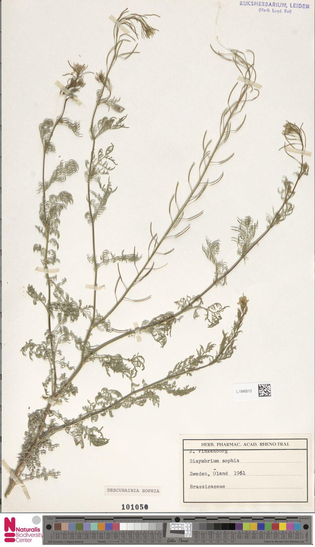 L.1840513 | Descurainia sophia (L.) Webb ex Prantl