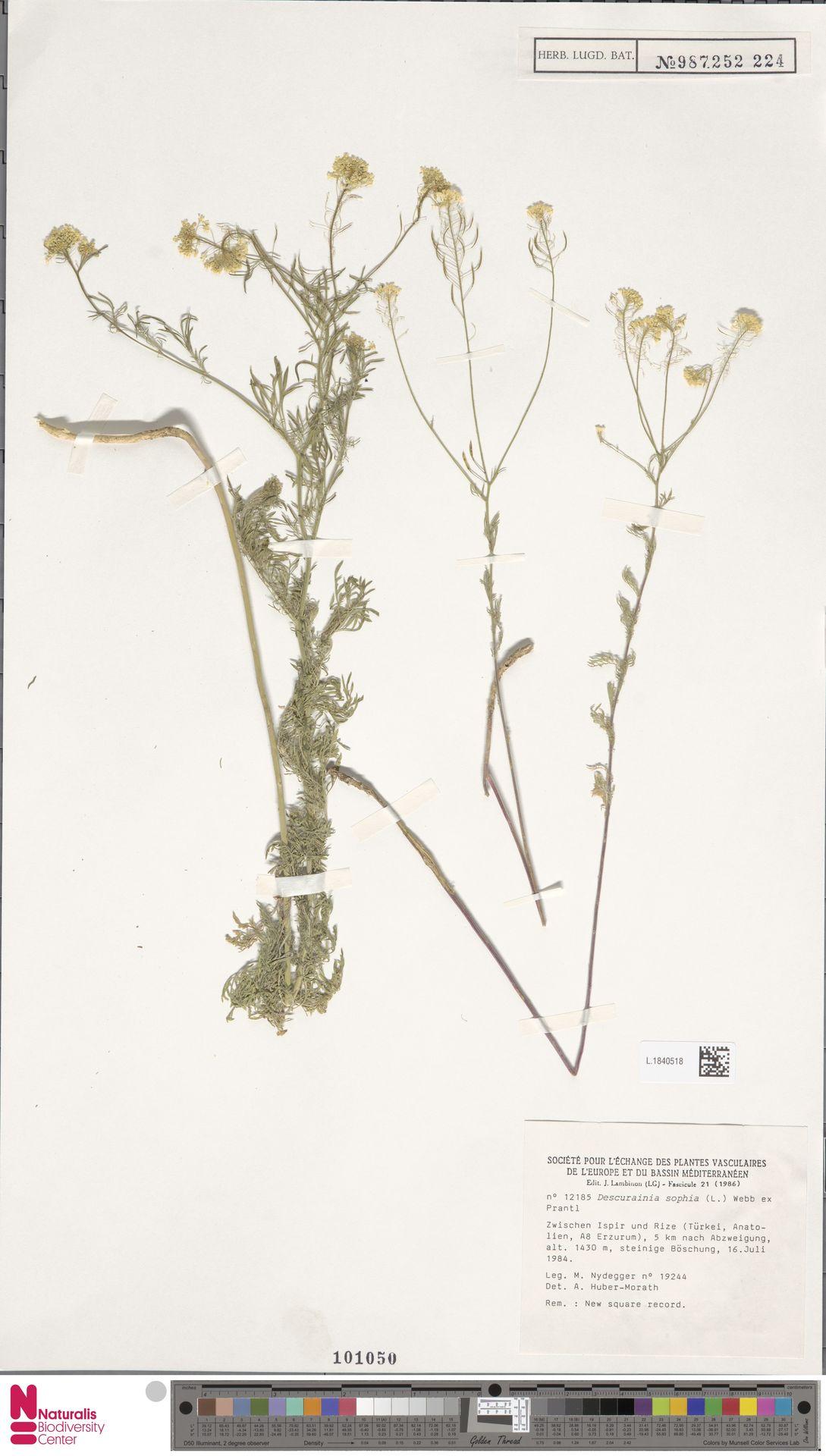 L.1840518 | Descurainia sophia (L.) Webb ex Prantl