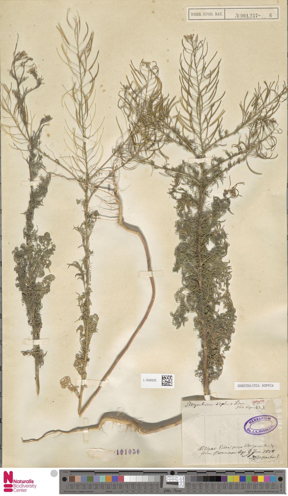 L.1840520 | Descurainia sophia (L.) Webb ex Prantl