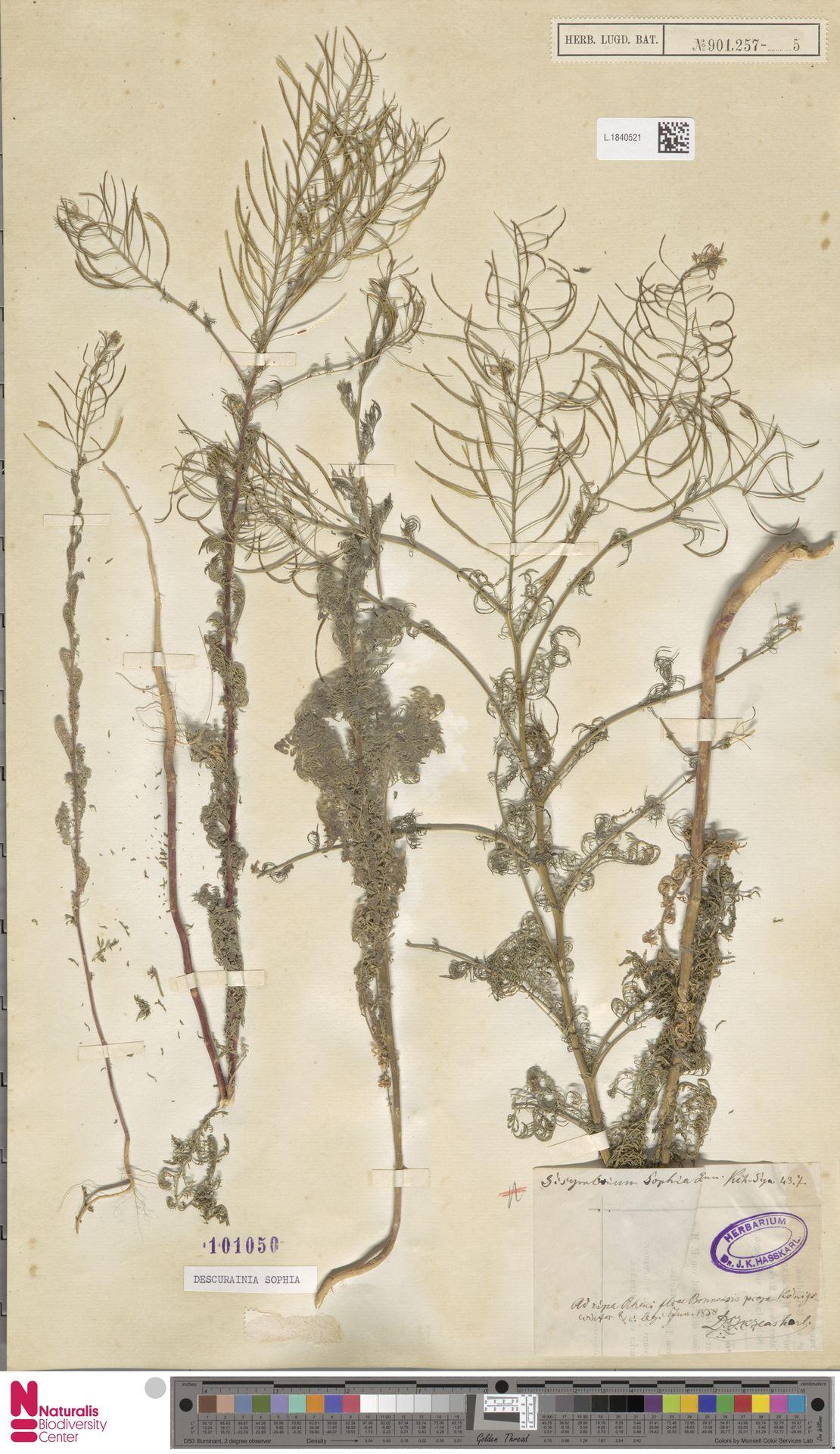 L.1840521 | Descurainia sophia (L.) Webb ex Prantl