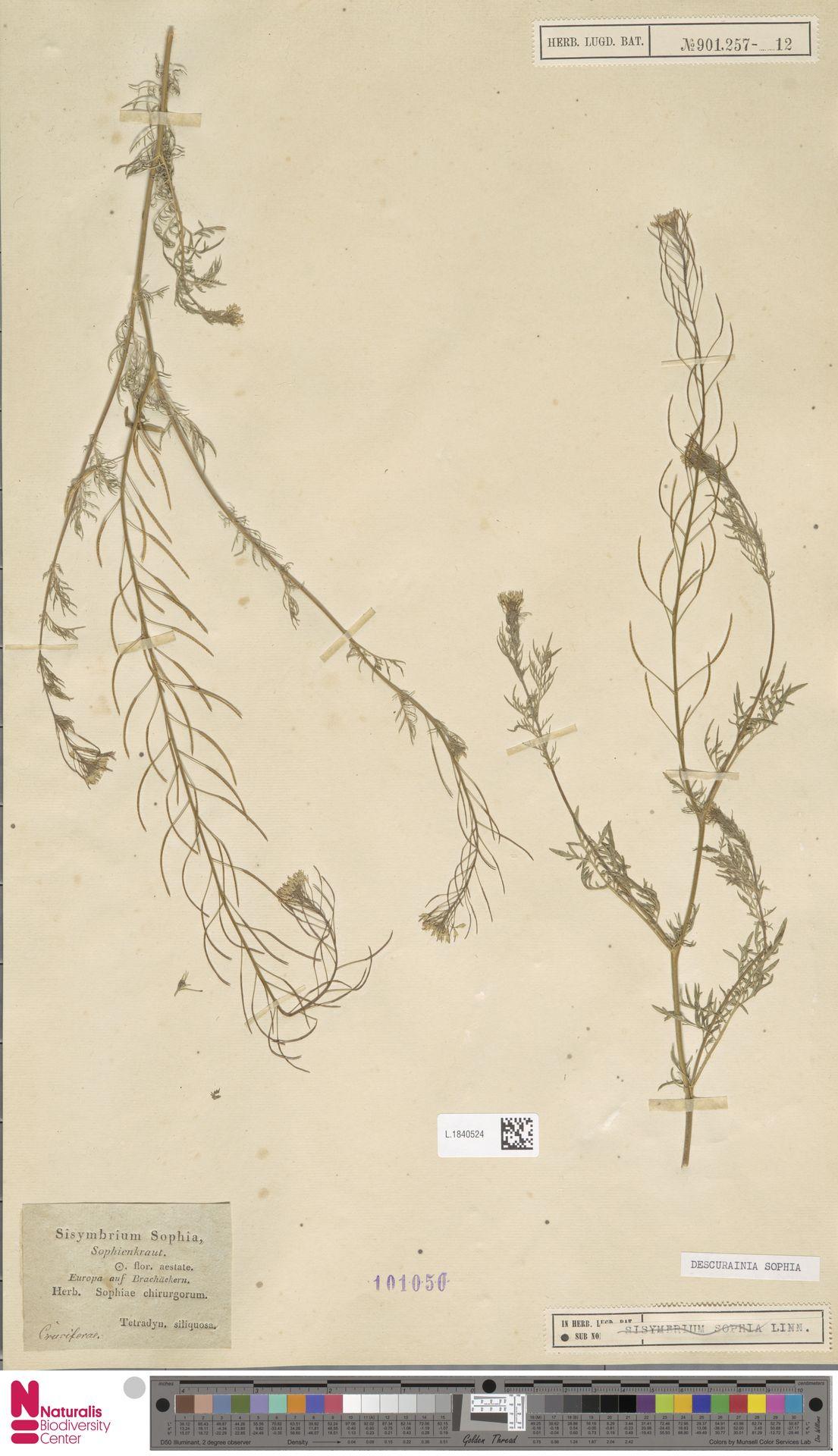 L.1840524 | Descurainia sophia (L.) Webb ex Prantl