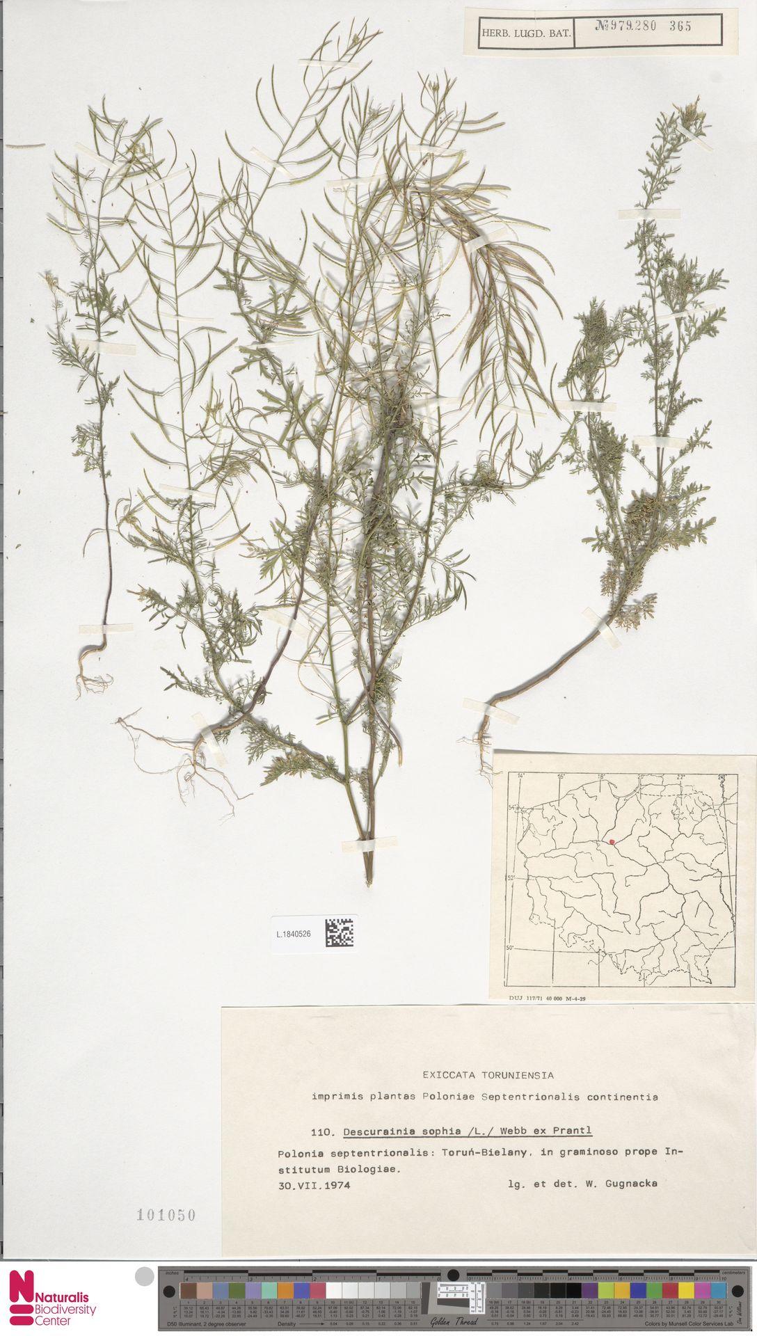L.1840526 | Descurainia sophia (L.) Webb ex Prantl