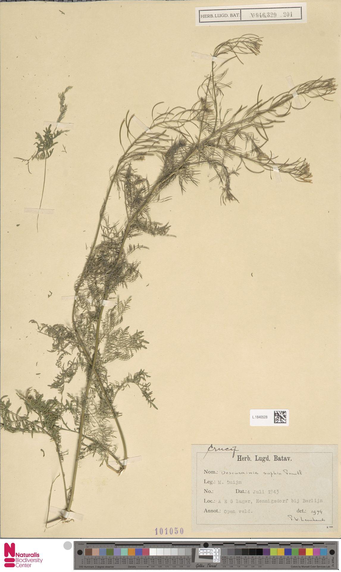 L.1840528 | Descurainia sophia (L.) Webb ex Prantl