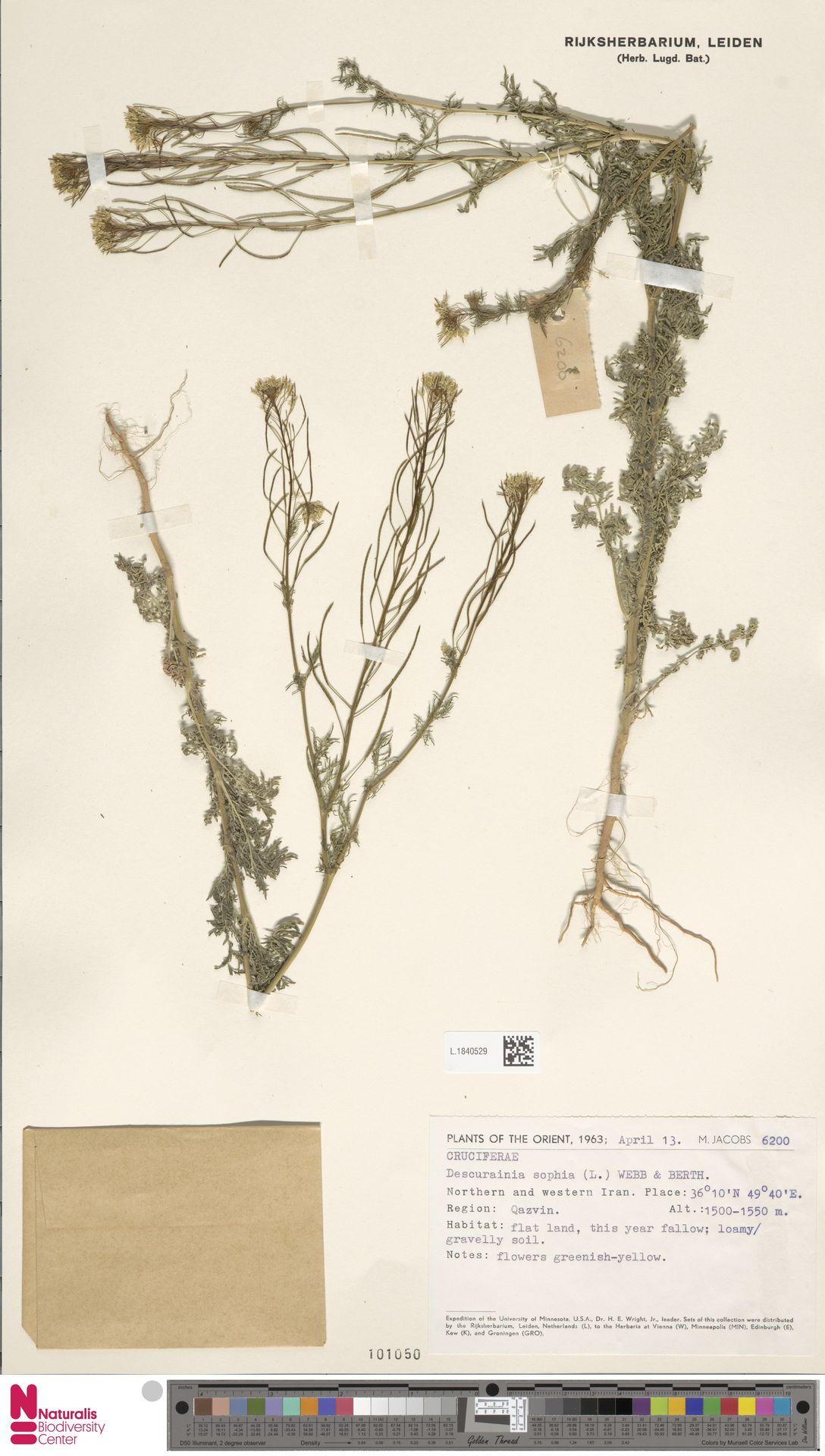 L.1840529 | Descurainia sophia (L.) Webb ex Prantl