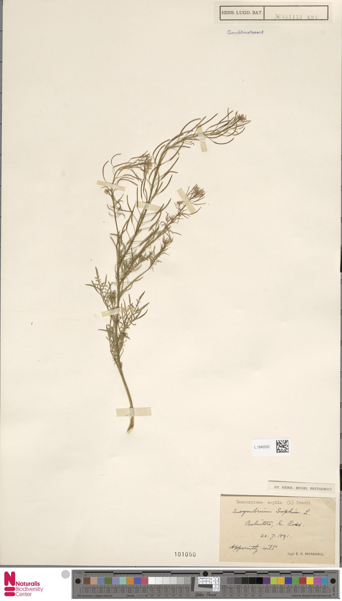 L.1840532 | Descurainia sophia (L.) Webb ex Prantl