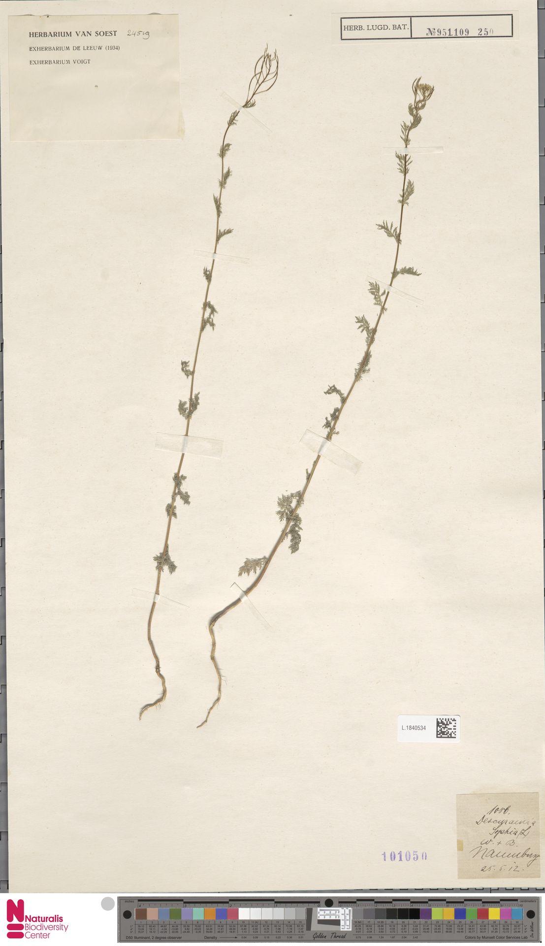 L.1840534 | Descurainia sophia (L.) Webb ex Prantl