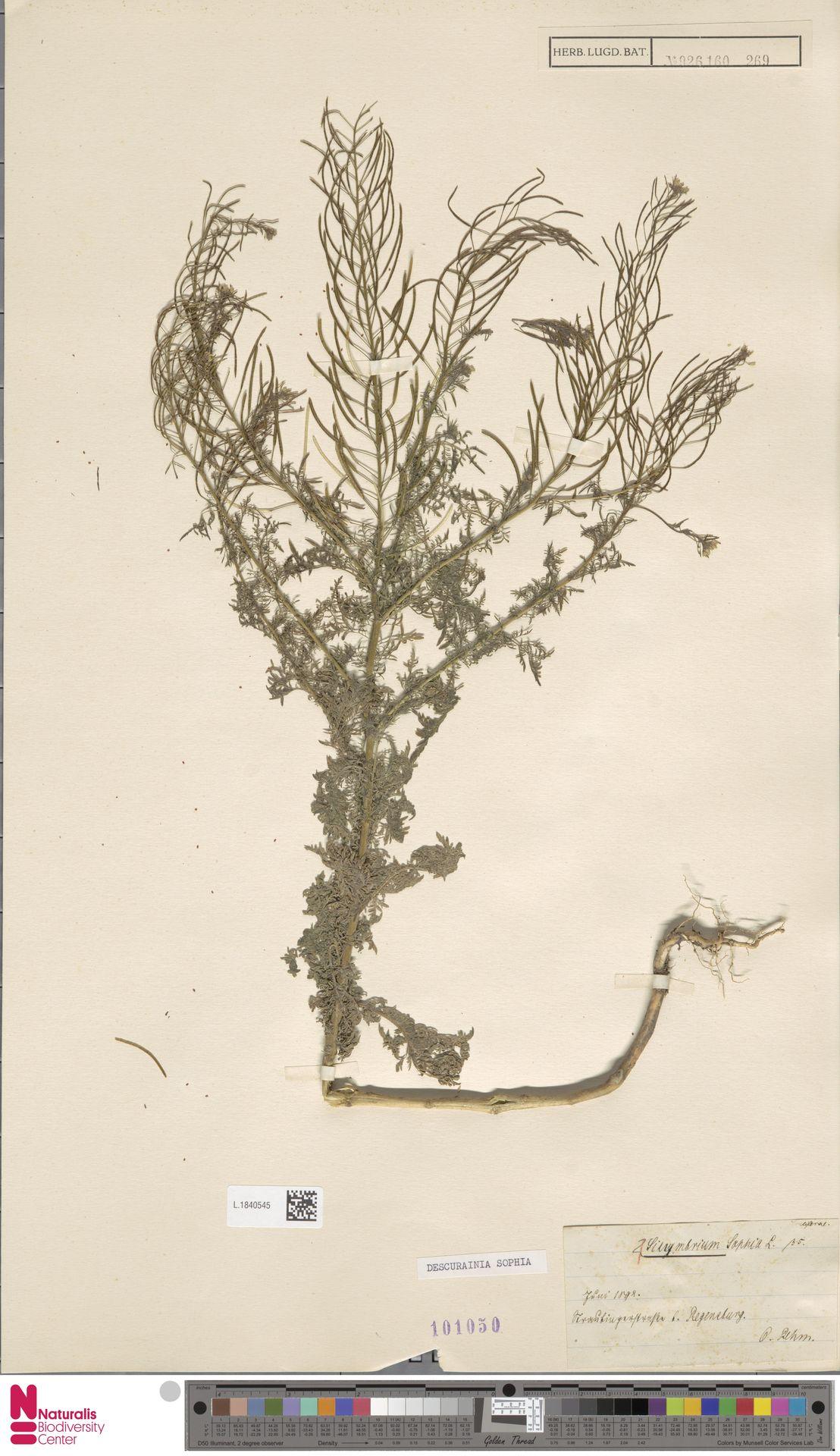 L.1840545 | Descurainia sophia (L.) Webb ex Prantl