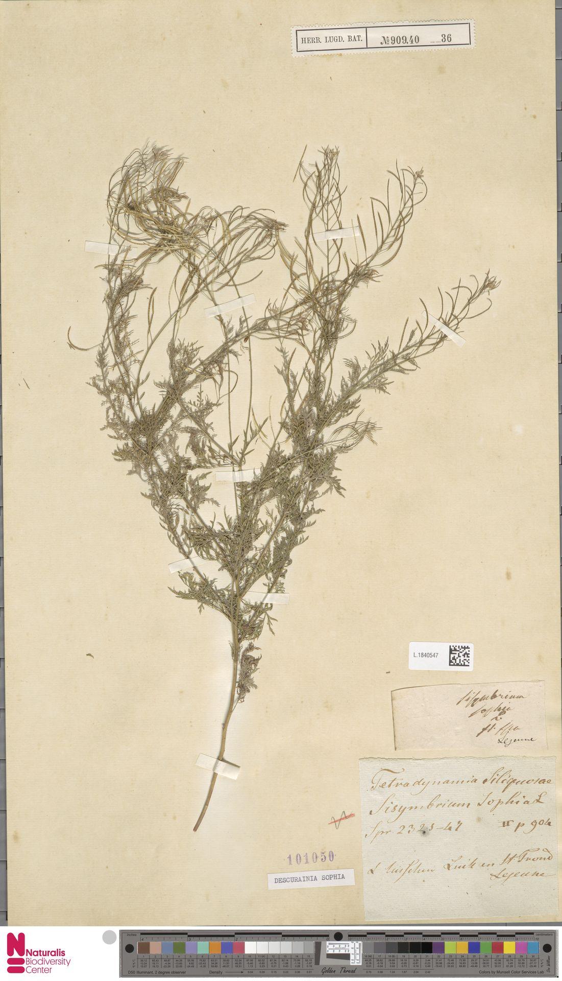 L.1840547 | Descurainia sophia (L.) Webb ex Prantl