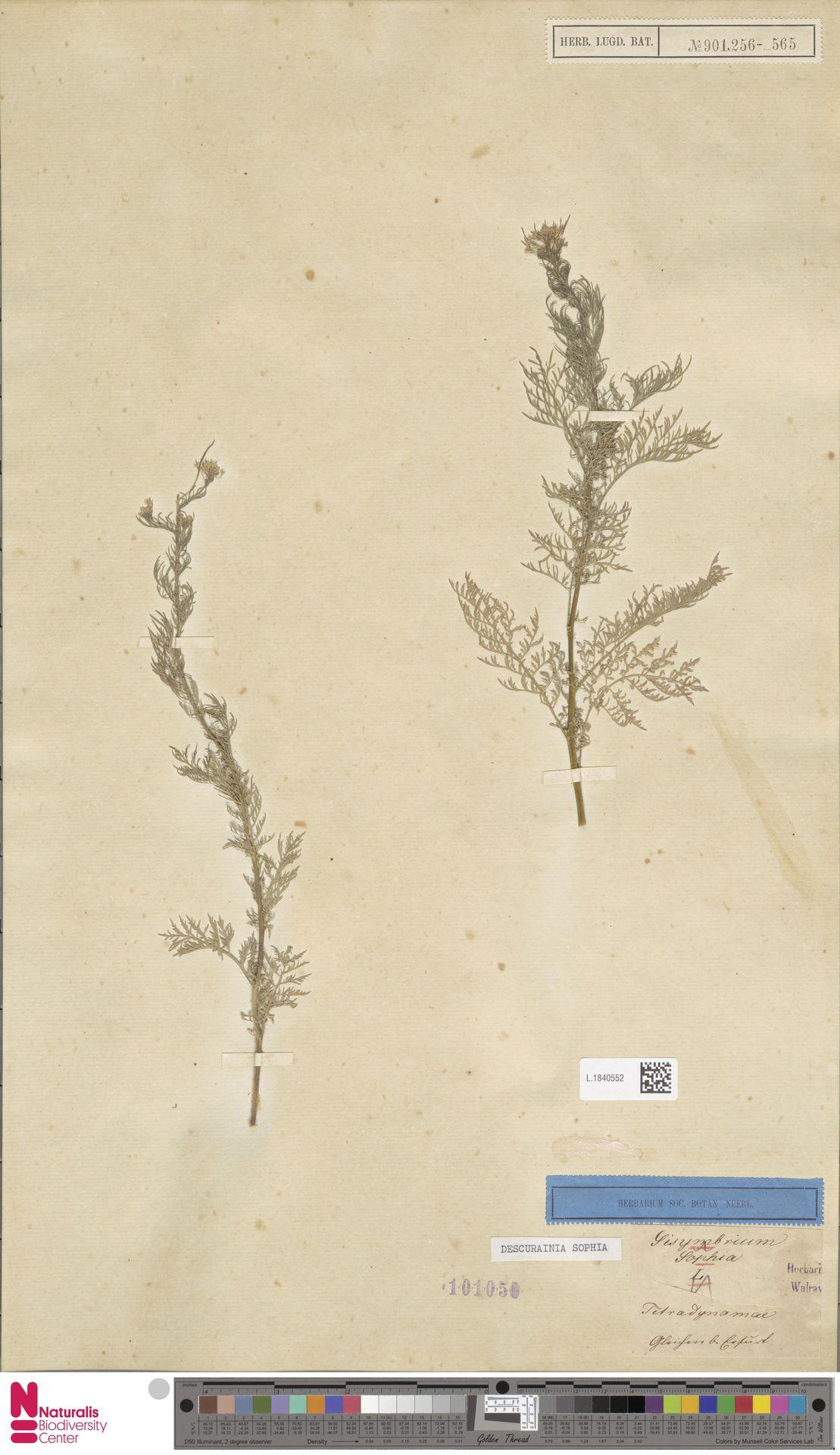 L.1840552 | Descurainia sophia (L.) Webb ex Prantl