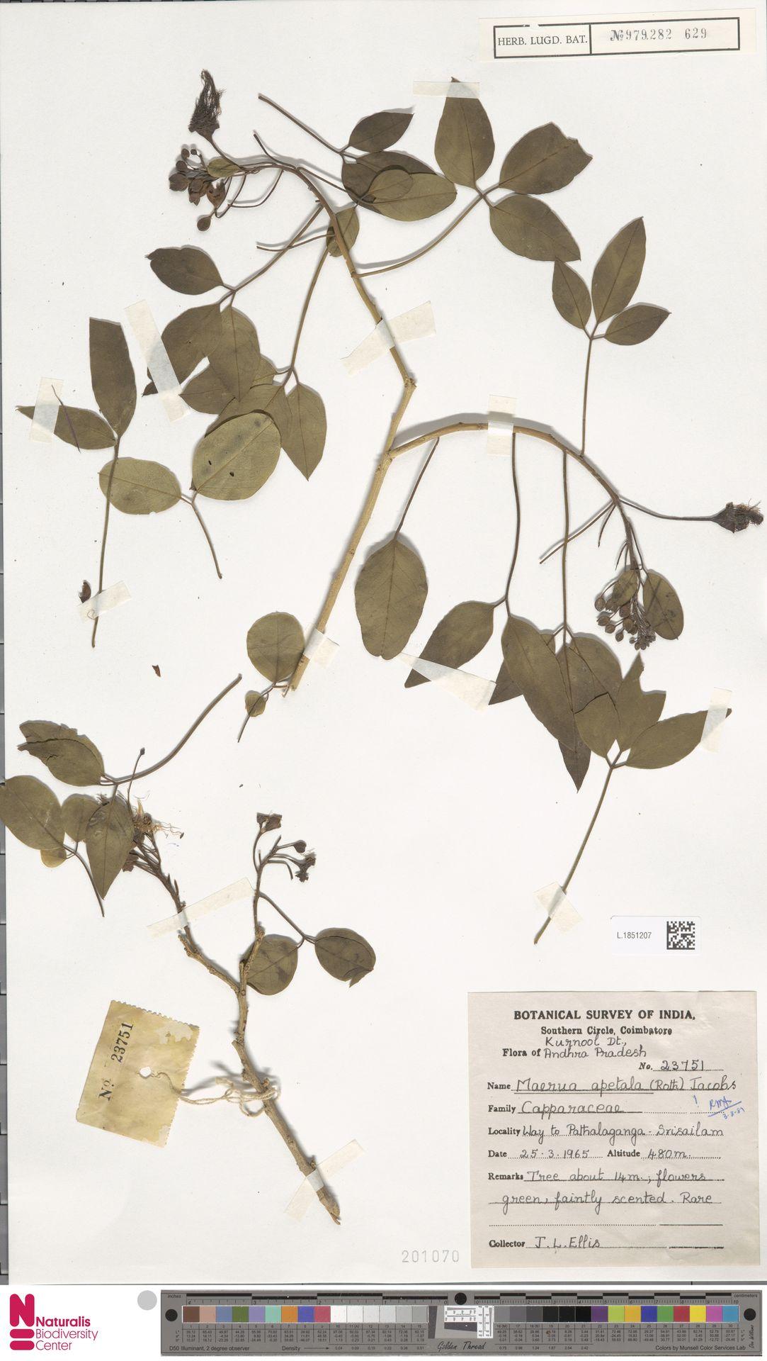 L.1851207 | Maerua apetala (Spreng.) M.Jacobs