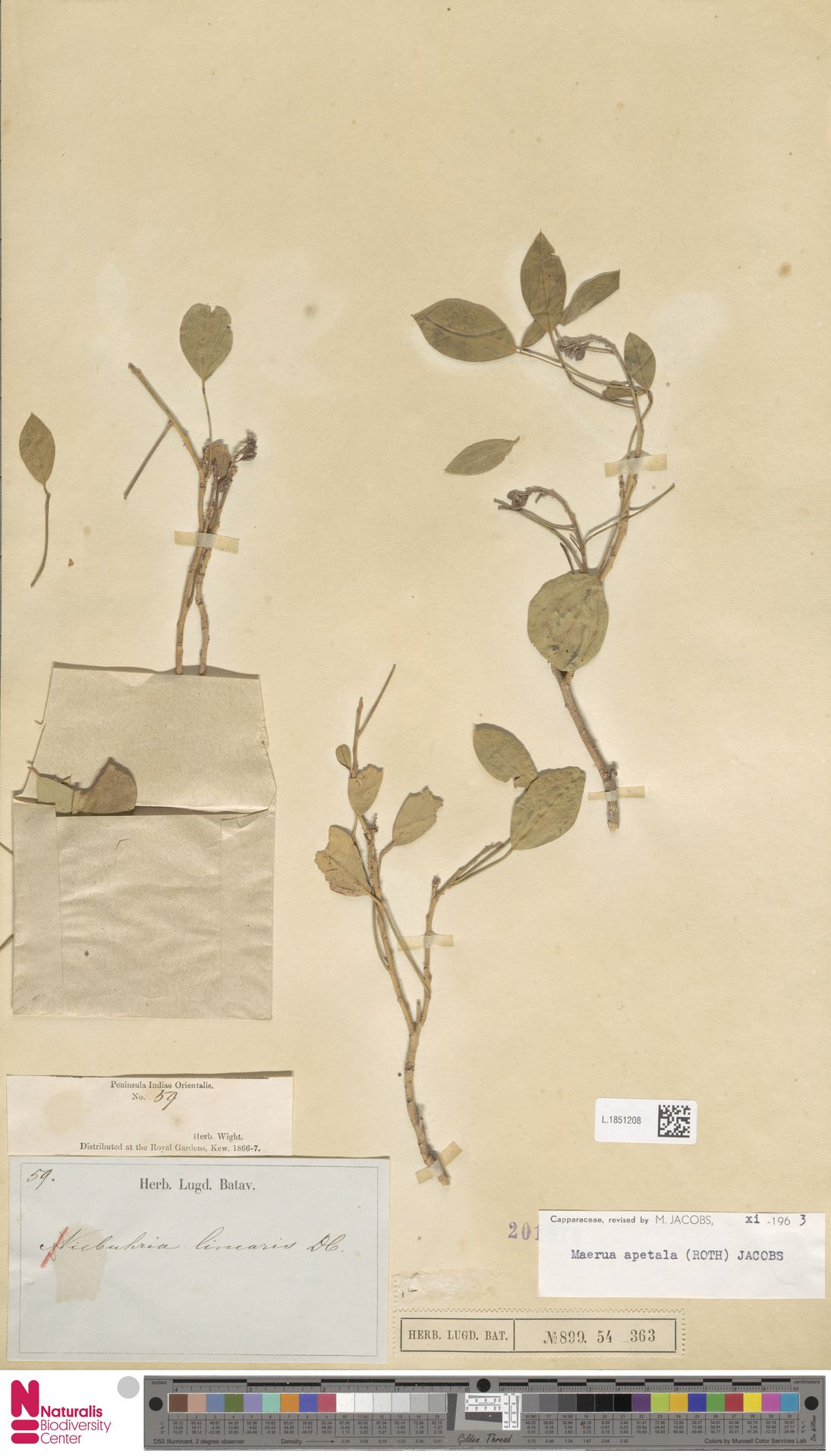 L.1851208 | Maerua apetala (Spreng.) M.Jacobs