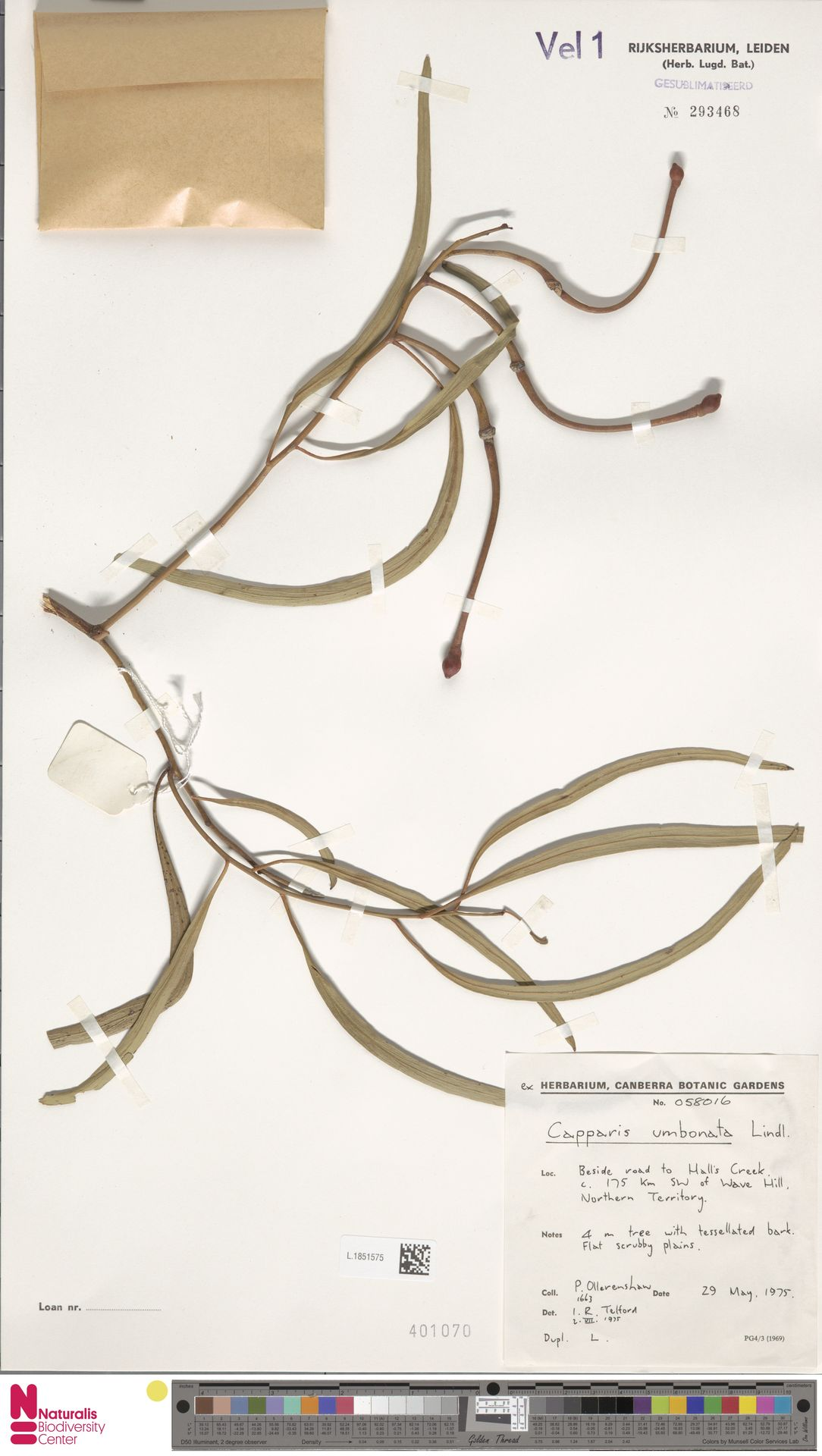 L.1851575 | Capparis umbonata Lindl.