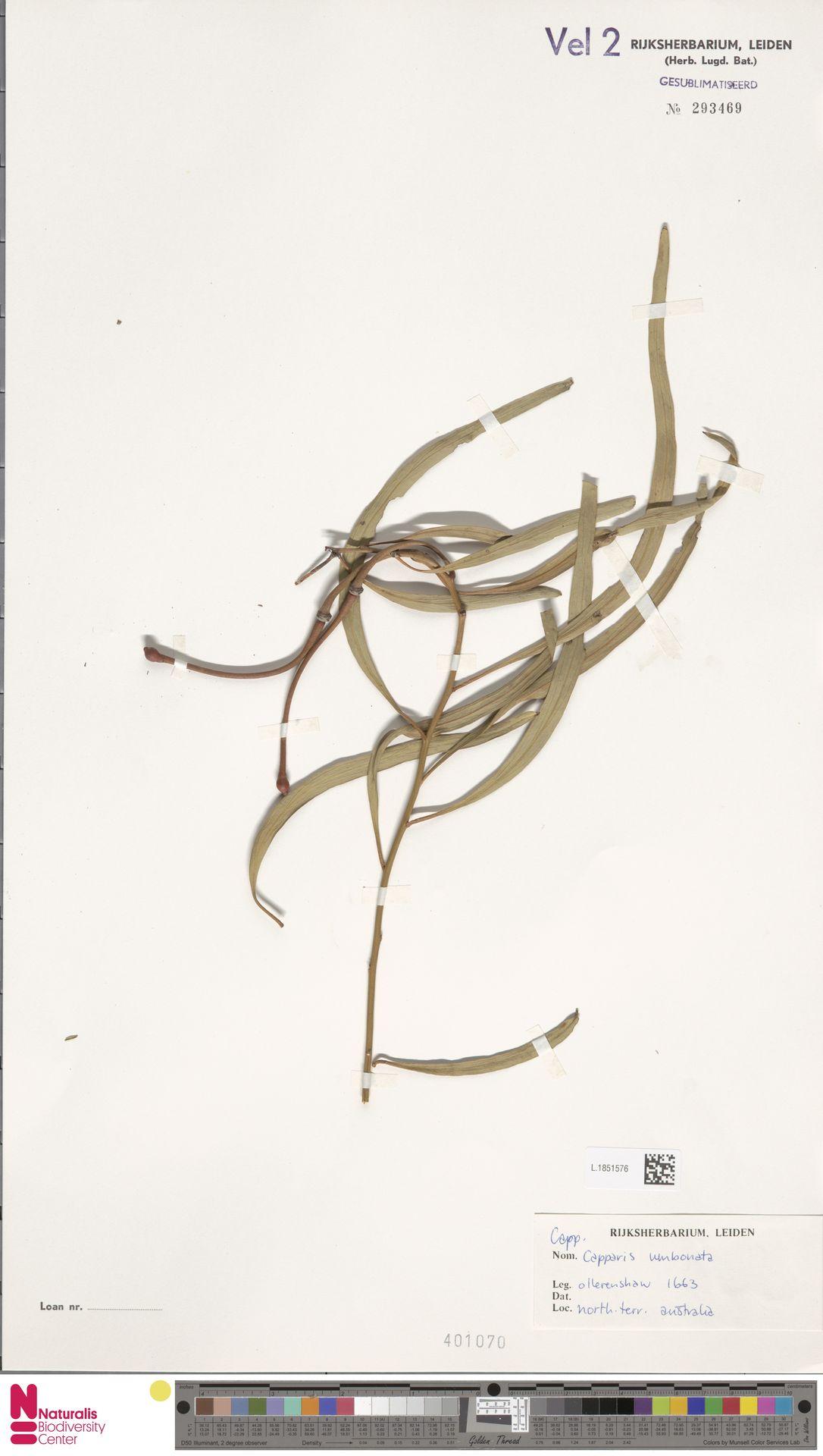 L.1851576 | Capparis umbonata Lindl.