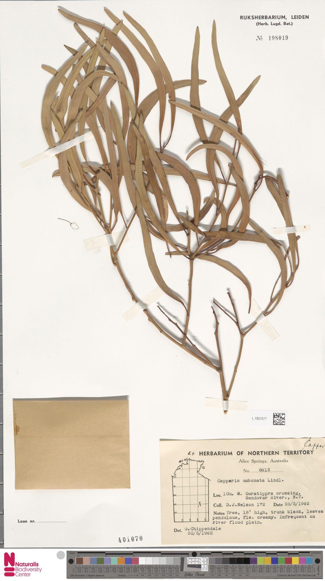 L.1851577 | Capparis umbonata Lindl.