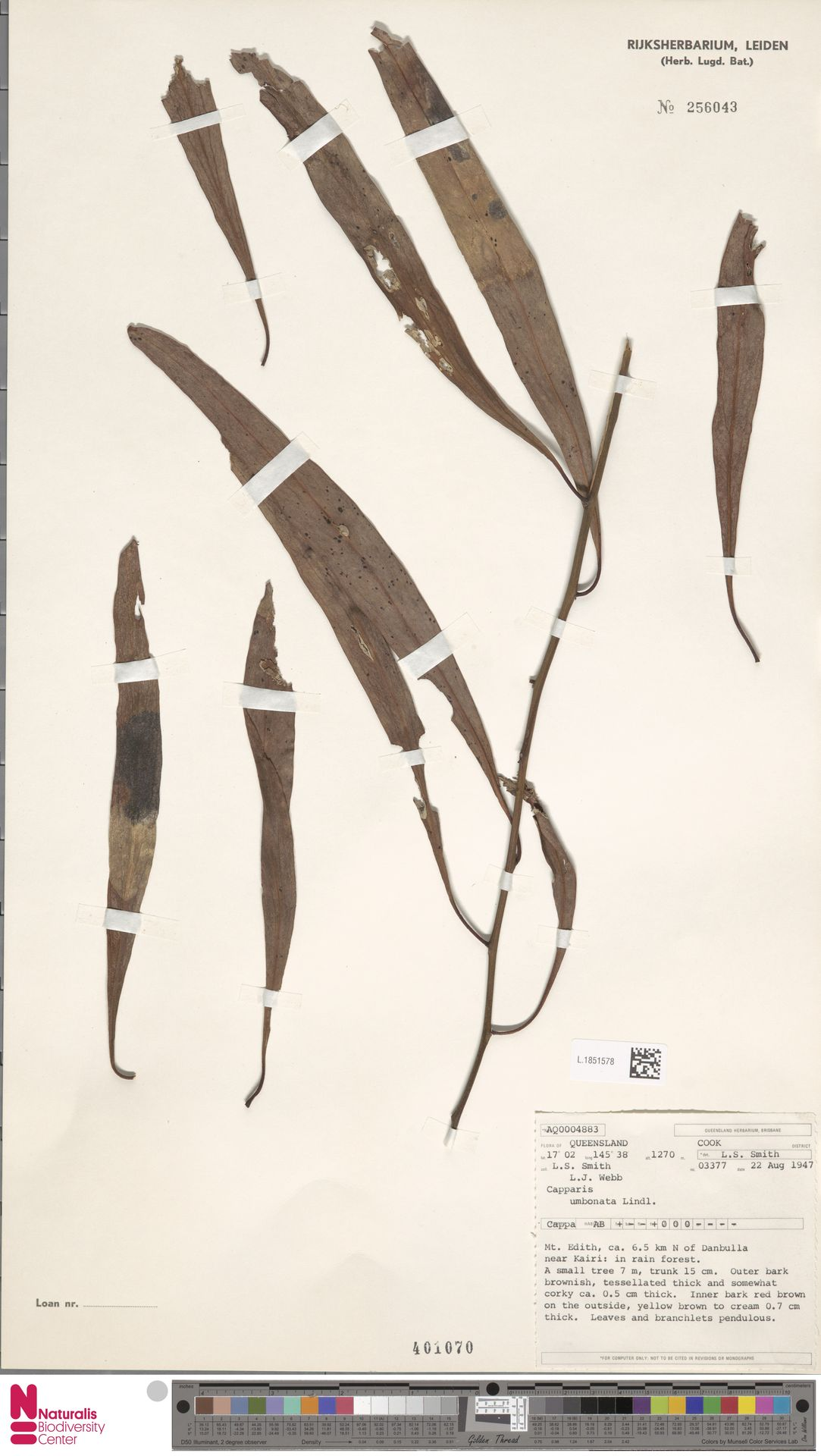 L.1851578 | Capparis umbonata Lindl.