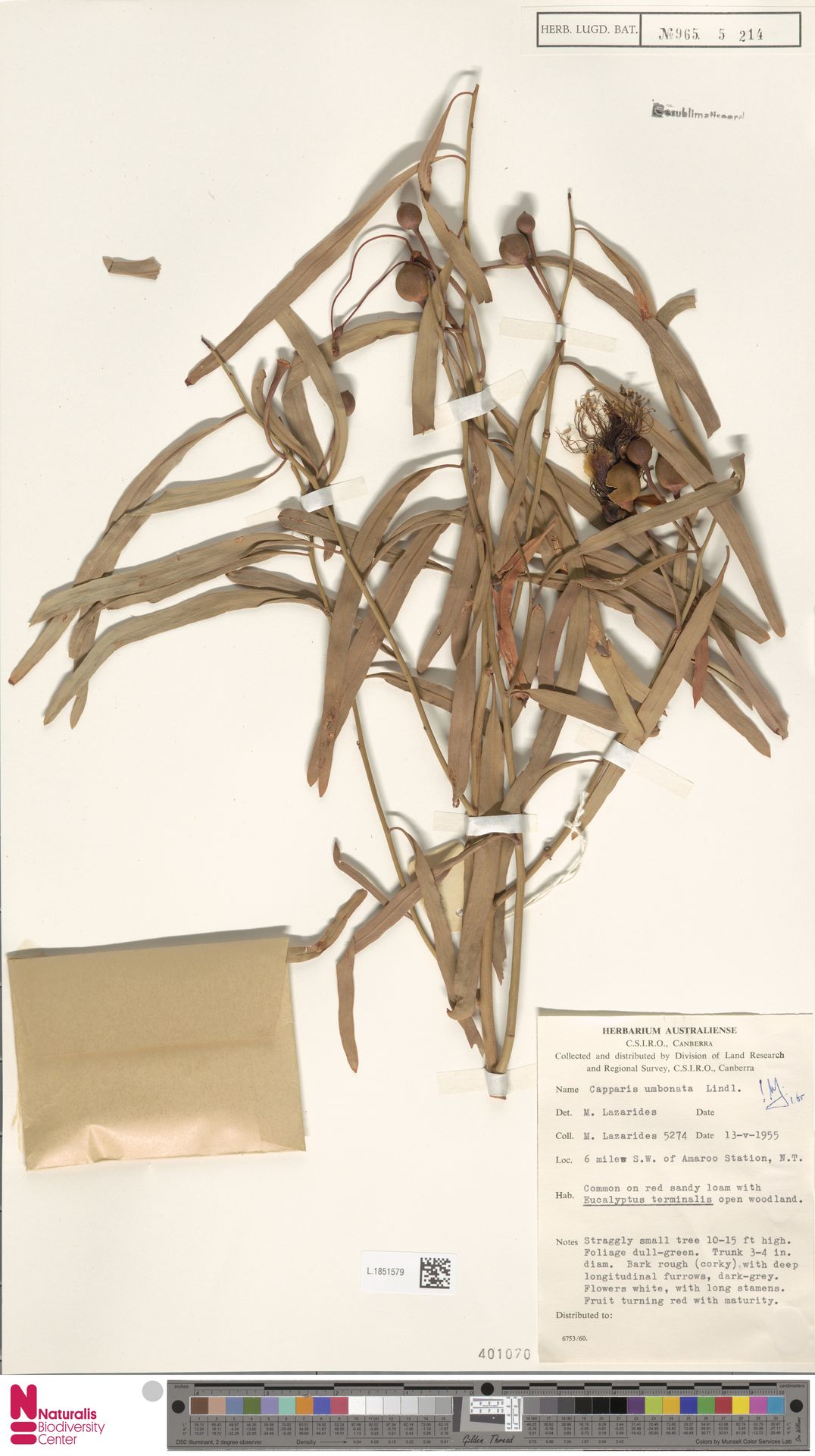L.1851579 | Capparis umbonata Lindl.