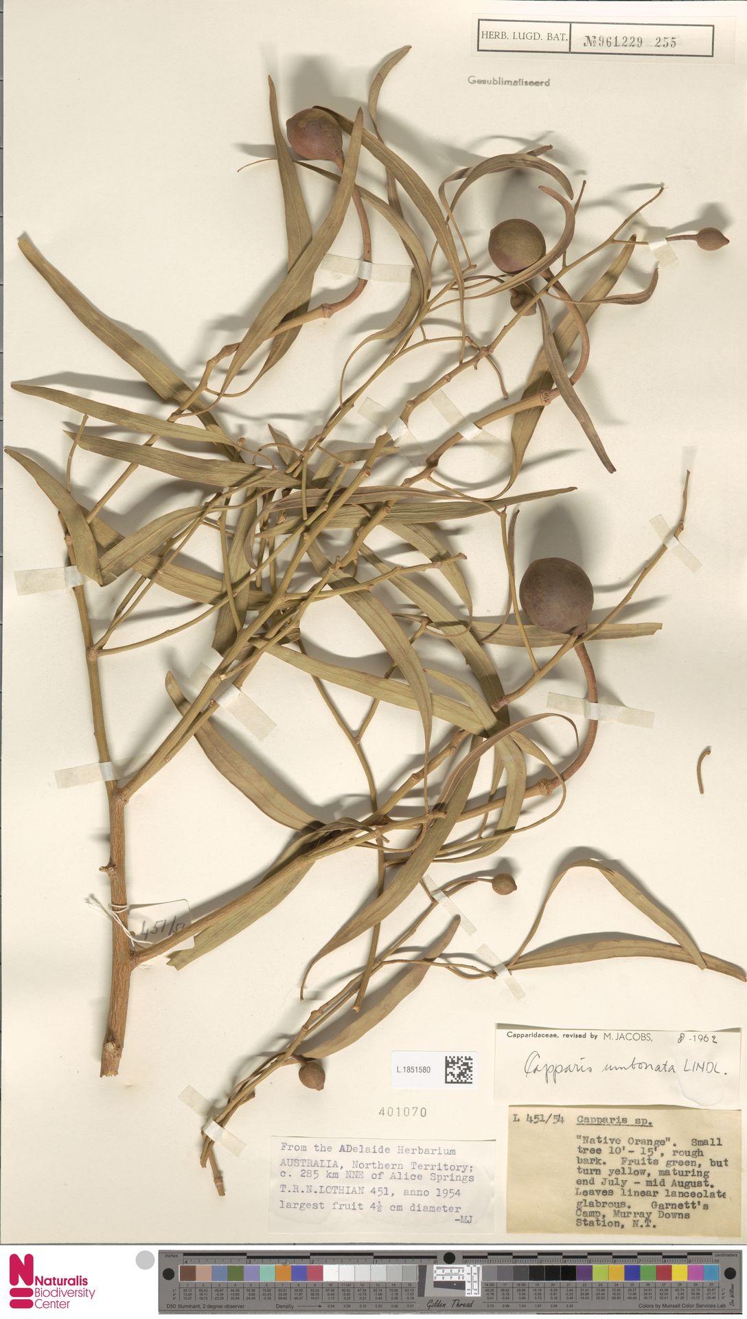 L.1851580 | Capparis umbonata Lindl.
