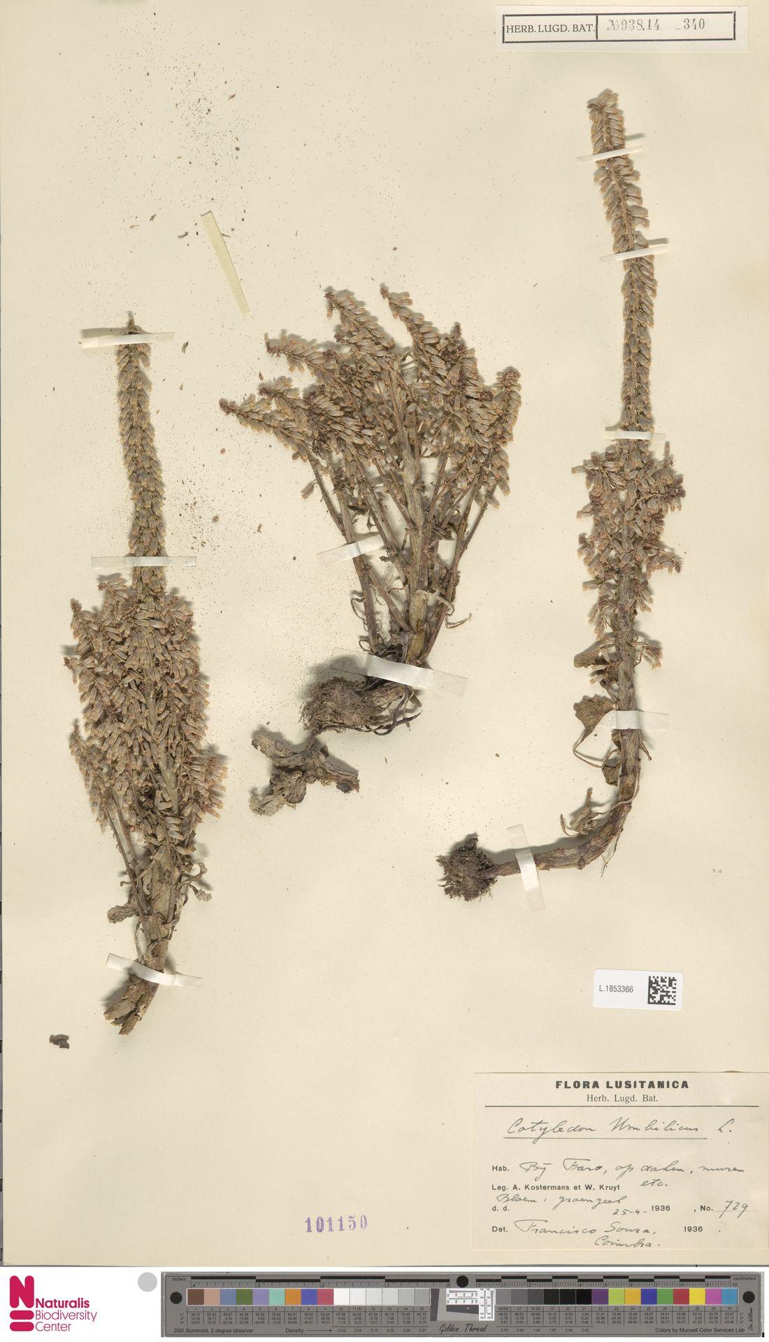 L.1853366 | Cotyledon umbilicus L.