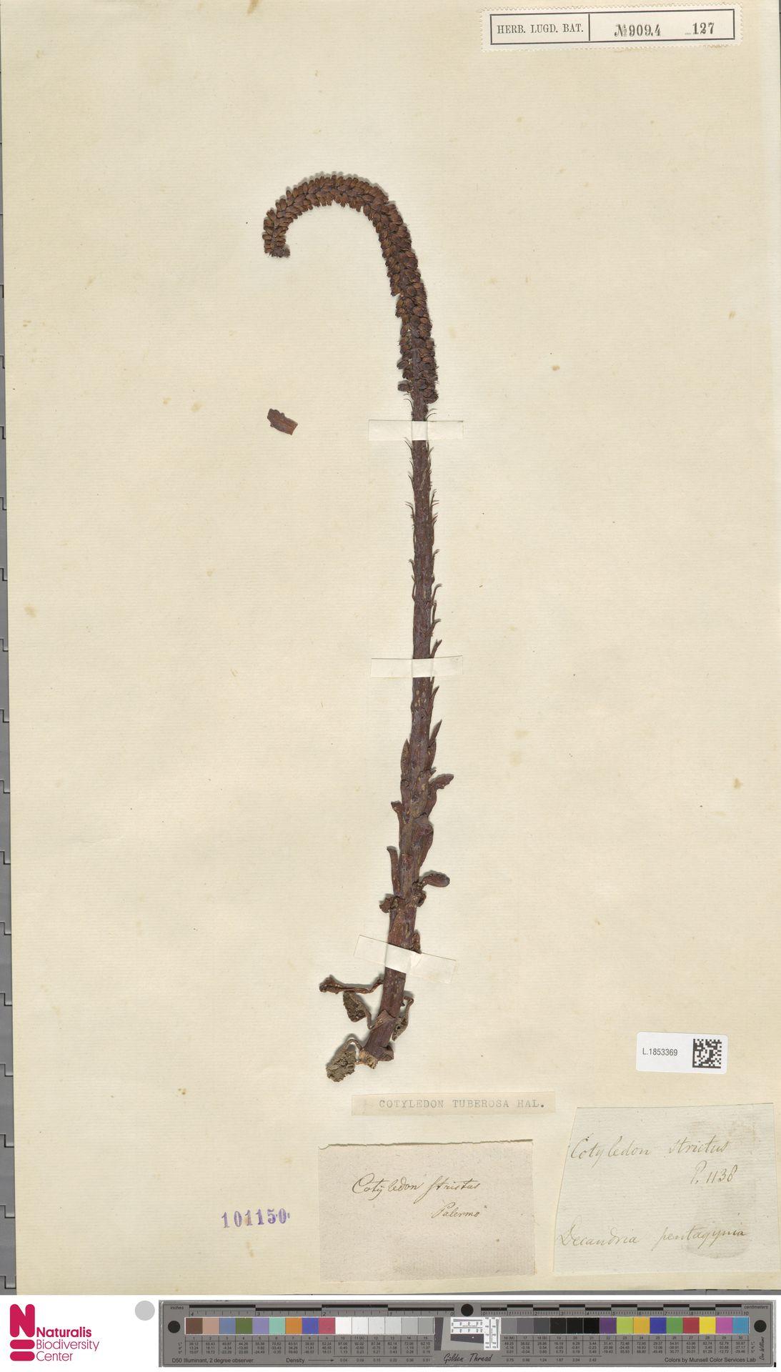 L.1853369 | Cotyledon umbilicus L.