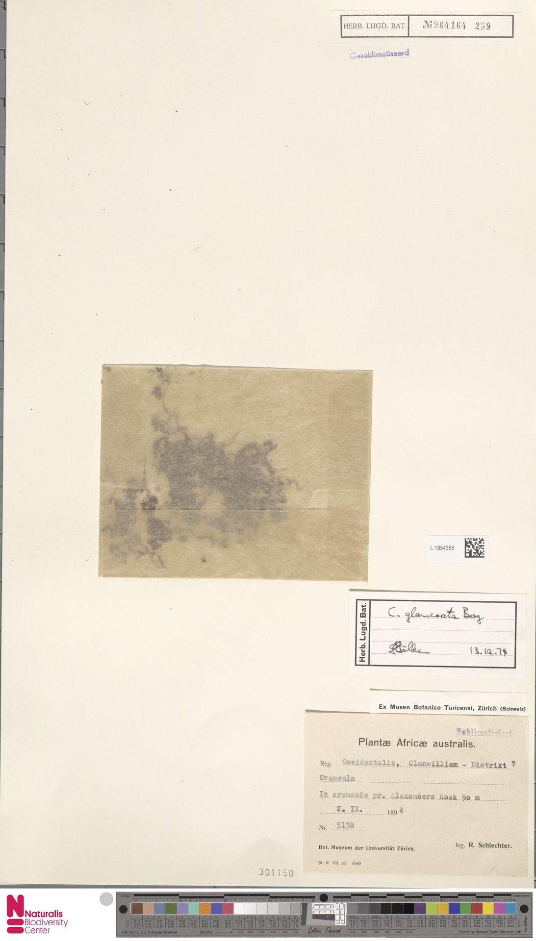 L.1854365   Crassula glomerata P.J.Bergius