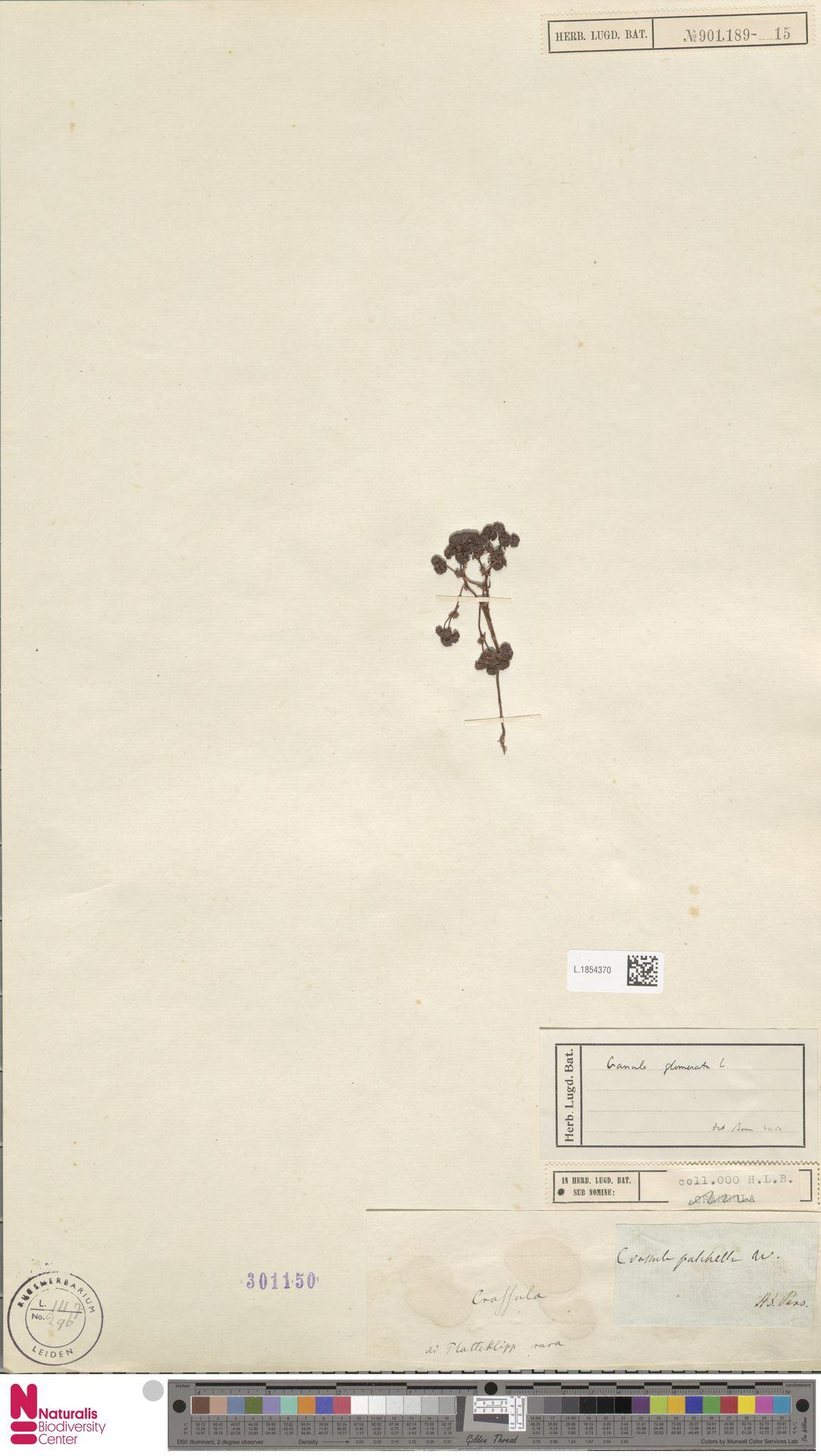 L.1854370 | Crassula glomerata P.J.Bergius