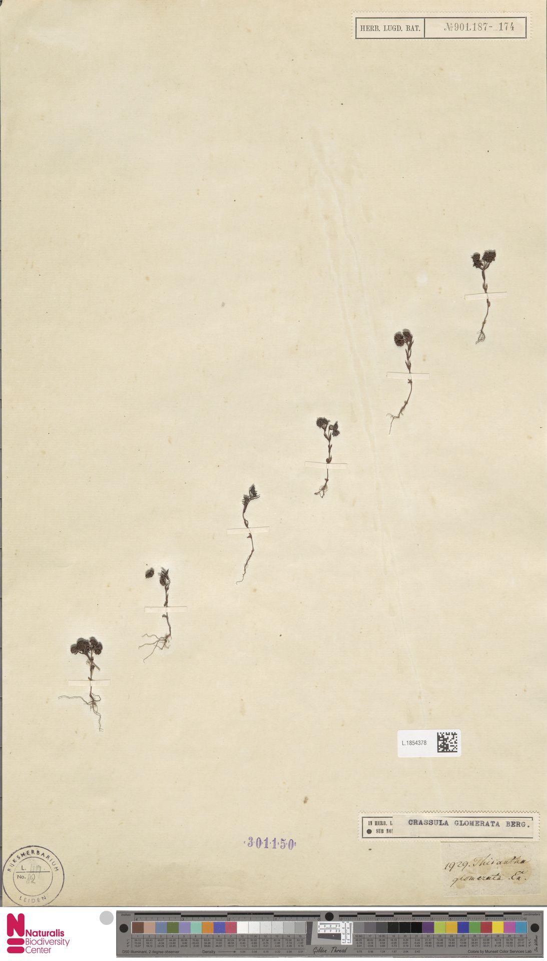 L.1854378 | Crassula glomerata P.J.Bergius