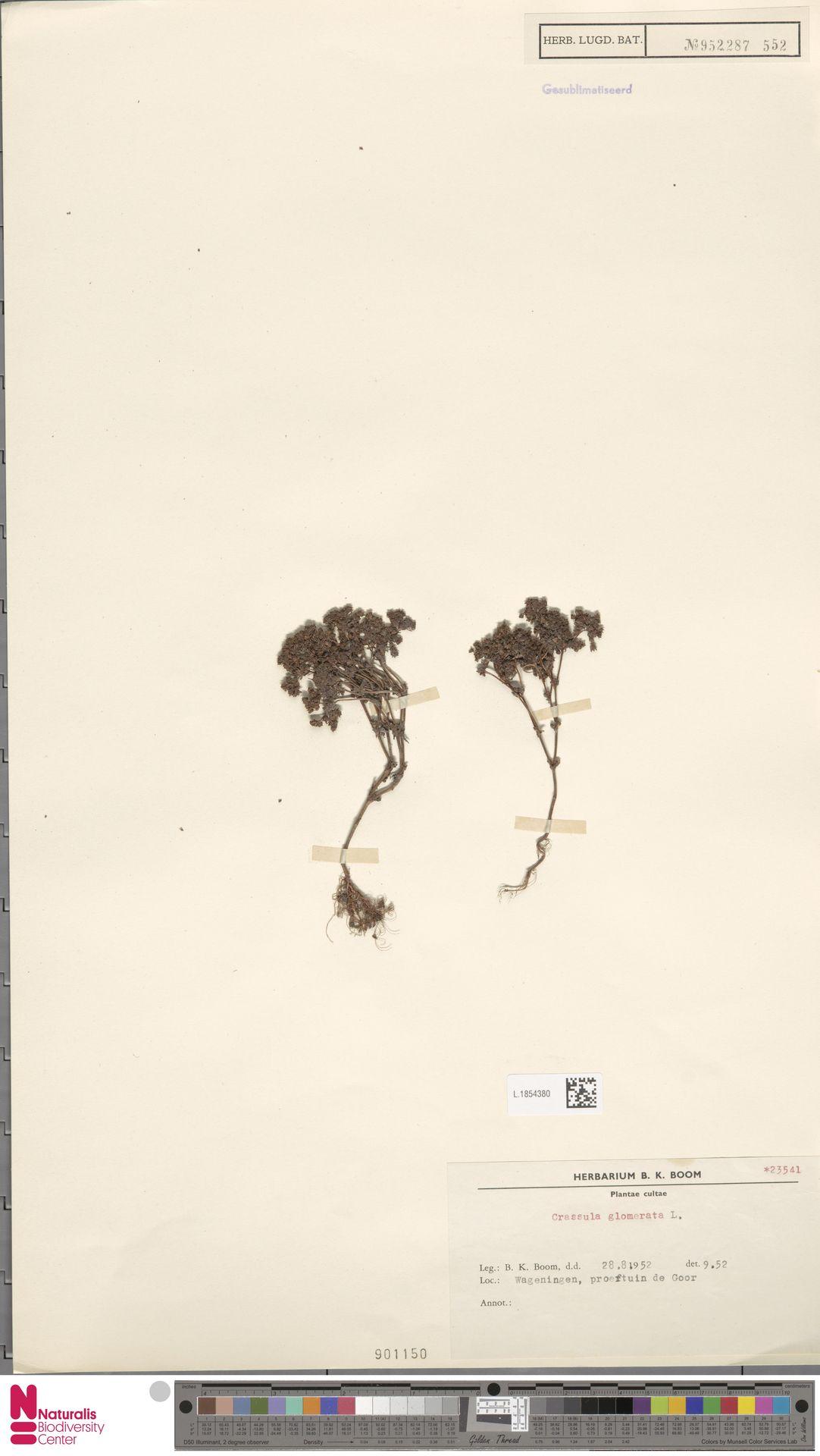 L.1854380 | Crassula glomerata P.J.Bergius